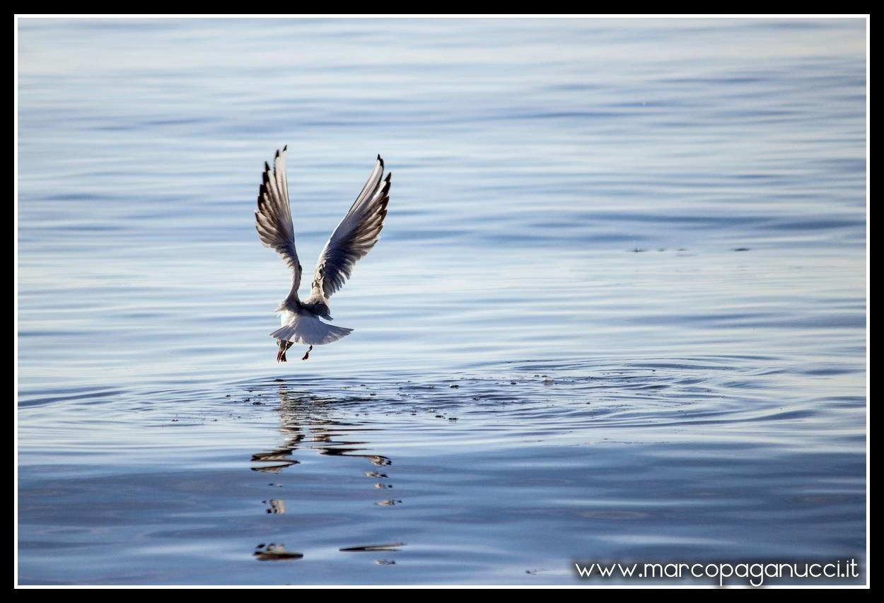 La pesca del gabbiano...