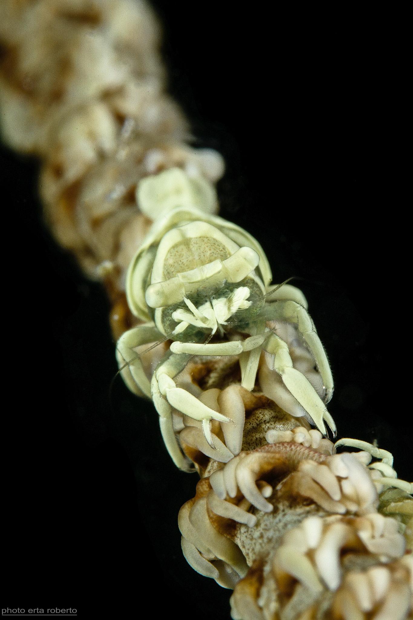 Shrimp Coral Whip...