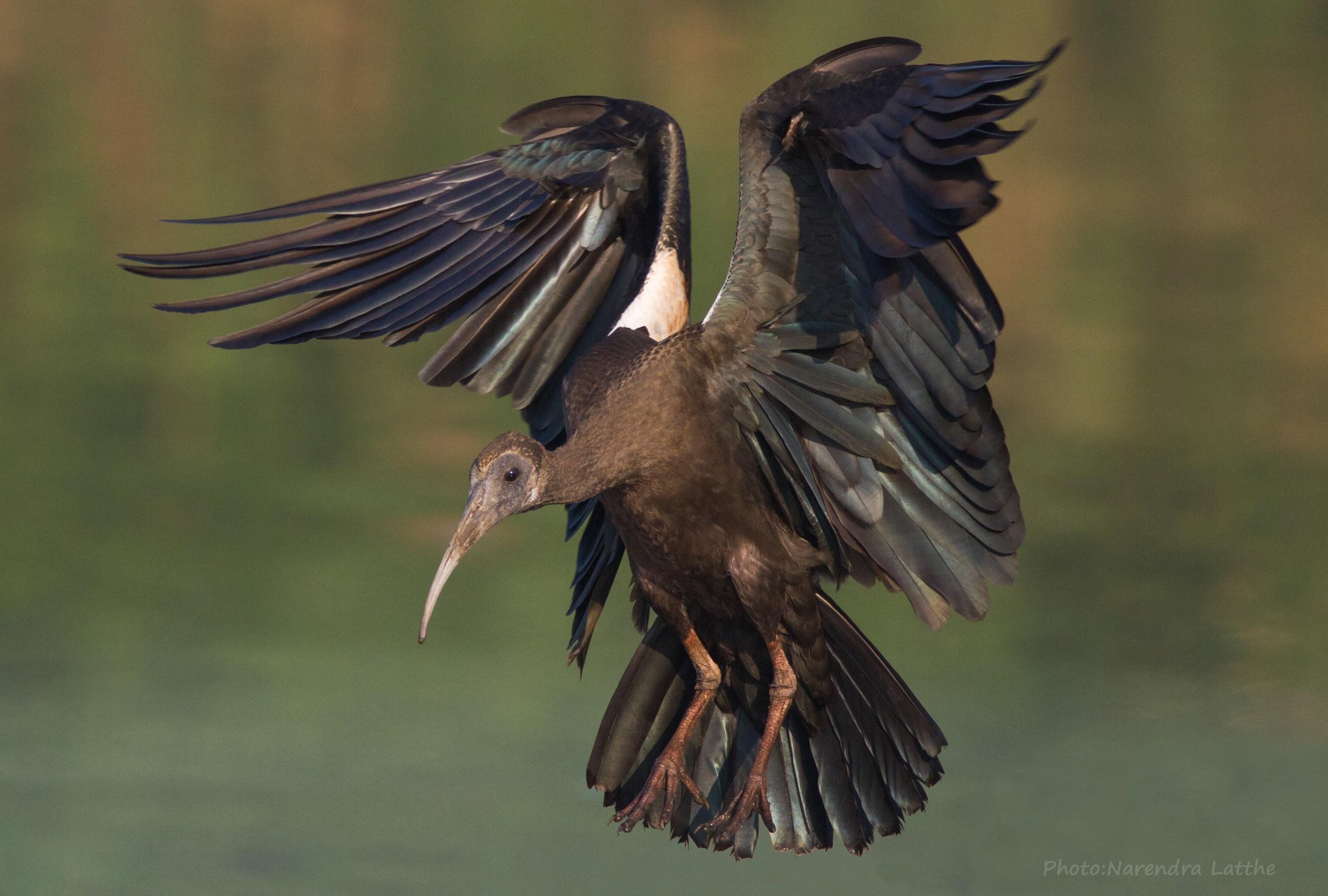 Black ibis landing...