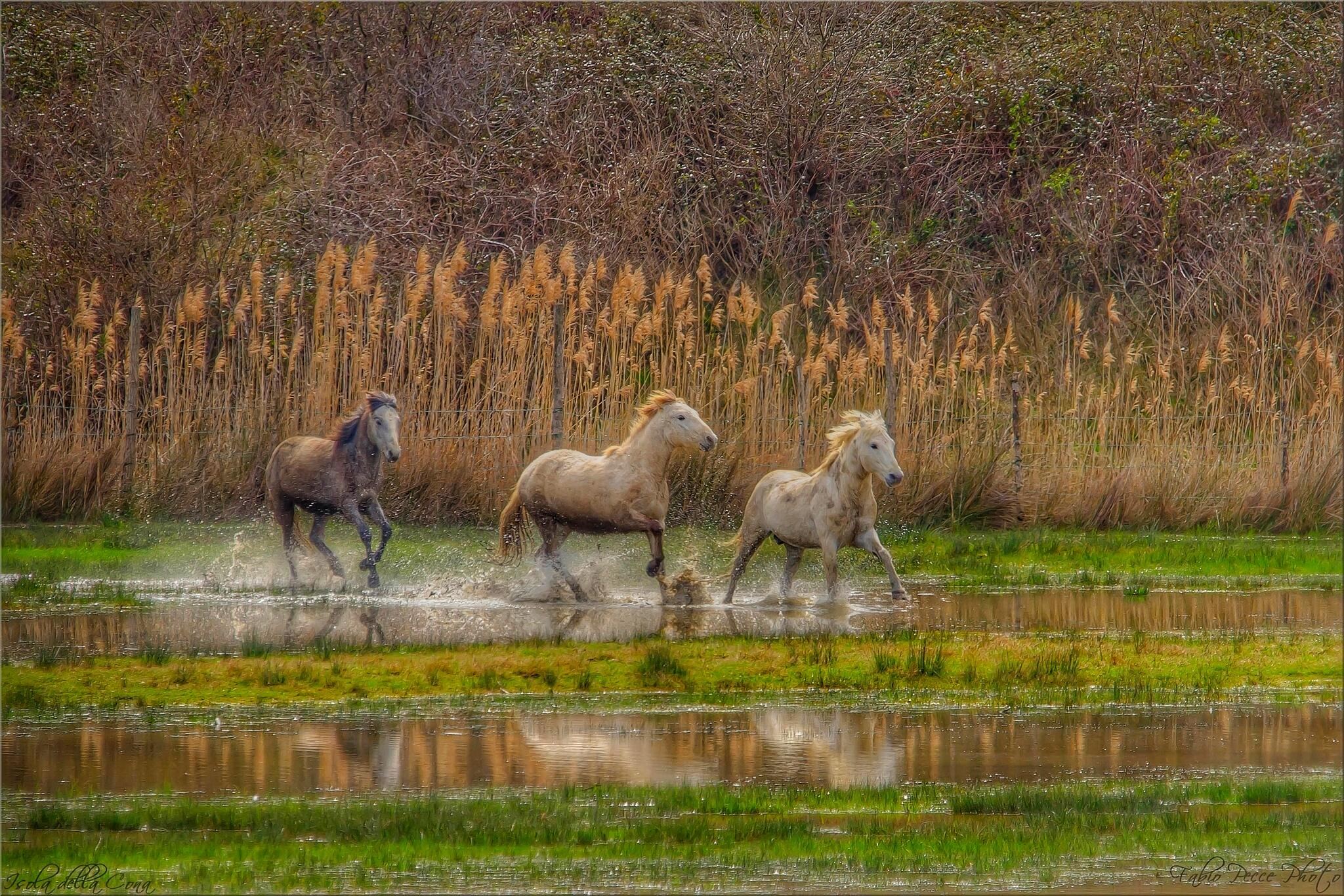 Camargue horses....