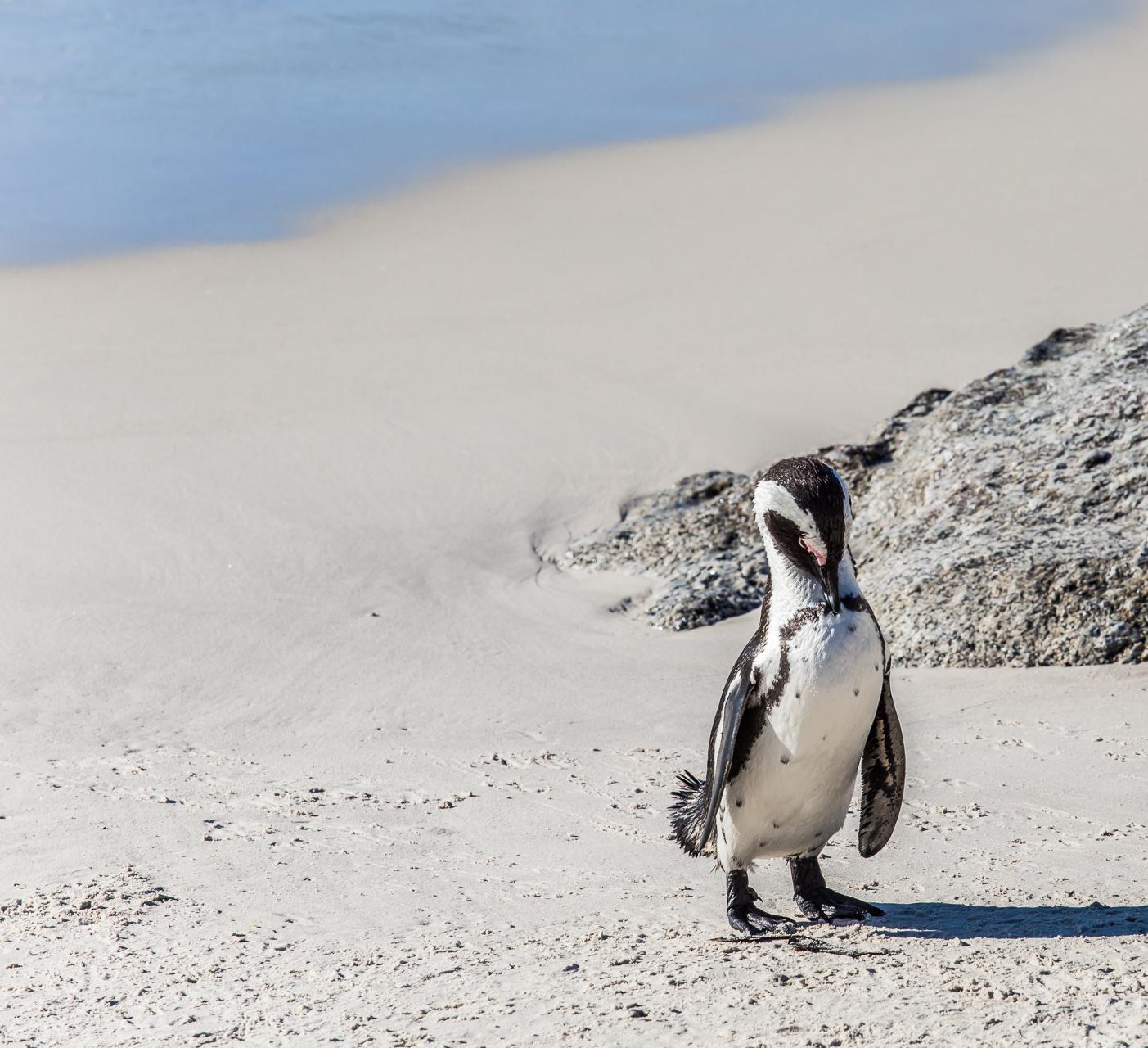 Penguin Cape Boulders Beach...