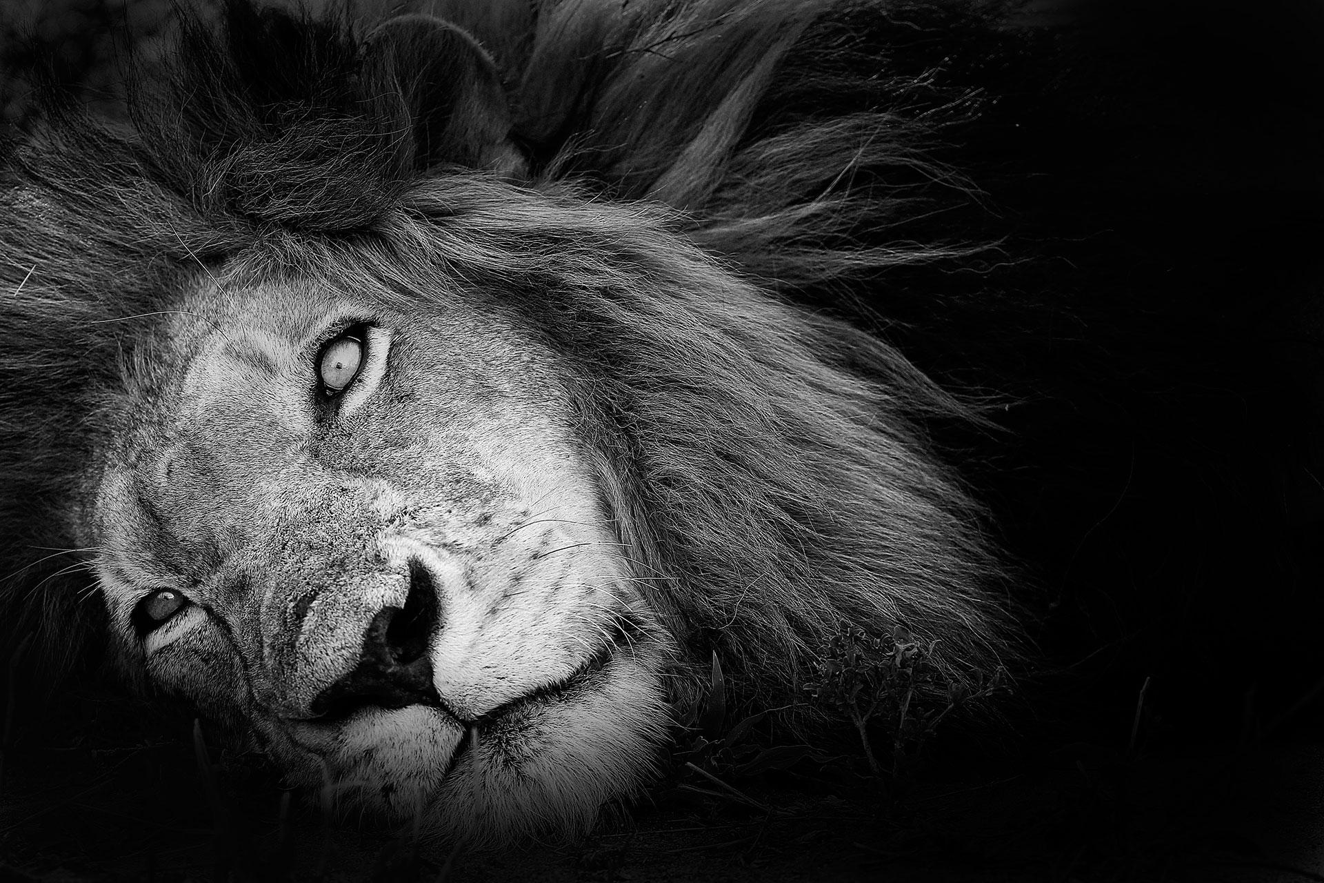 Lion...