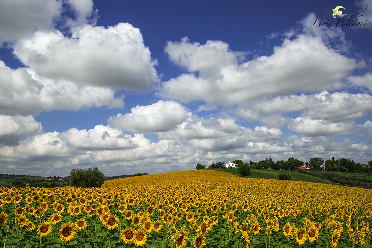 Sunflowers and a beautiful sky...