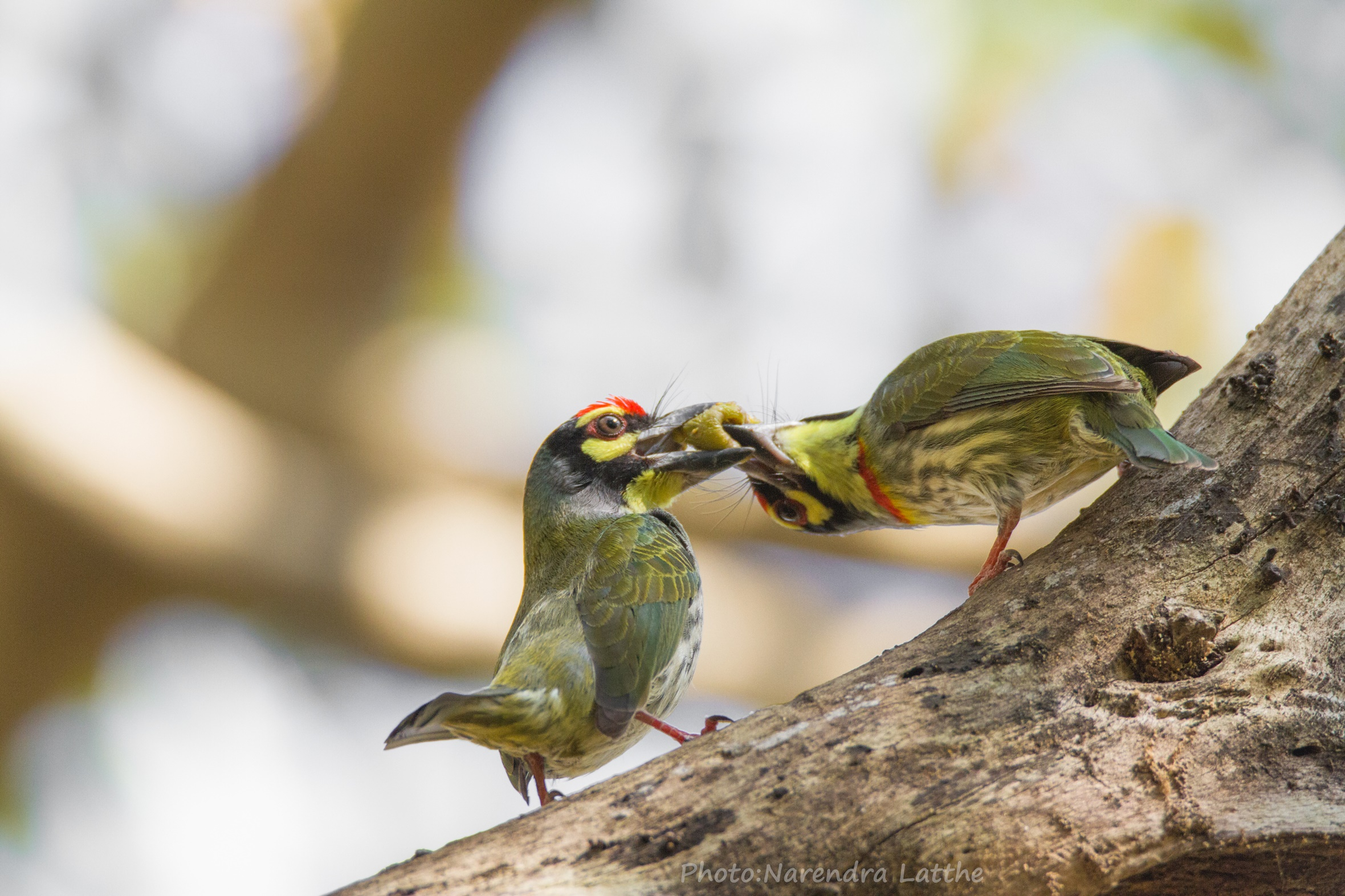 Coppersmith Barbets...