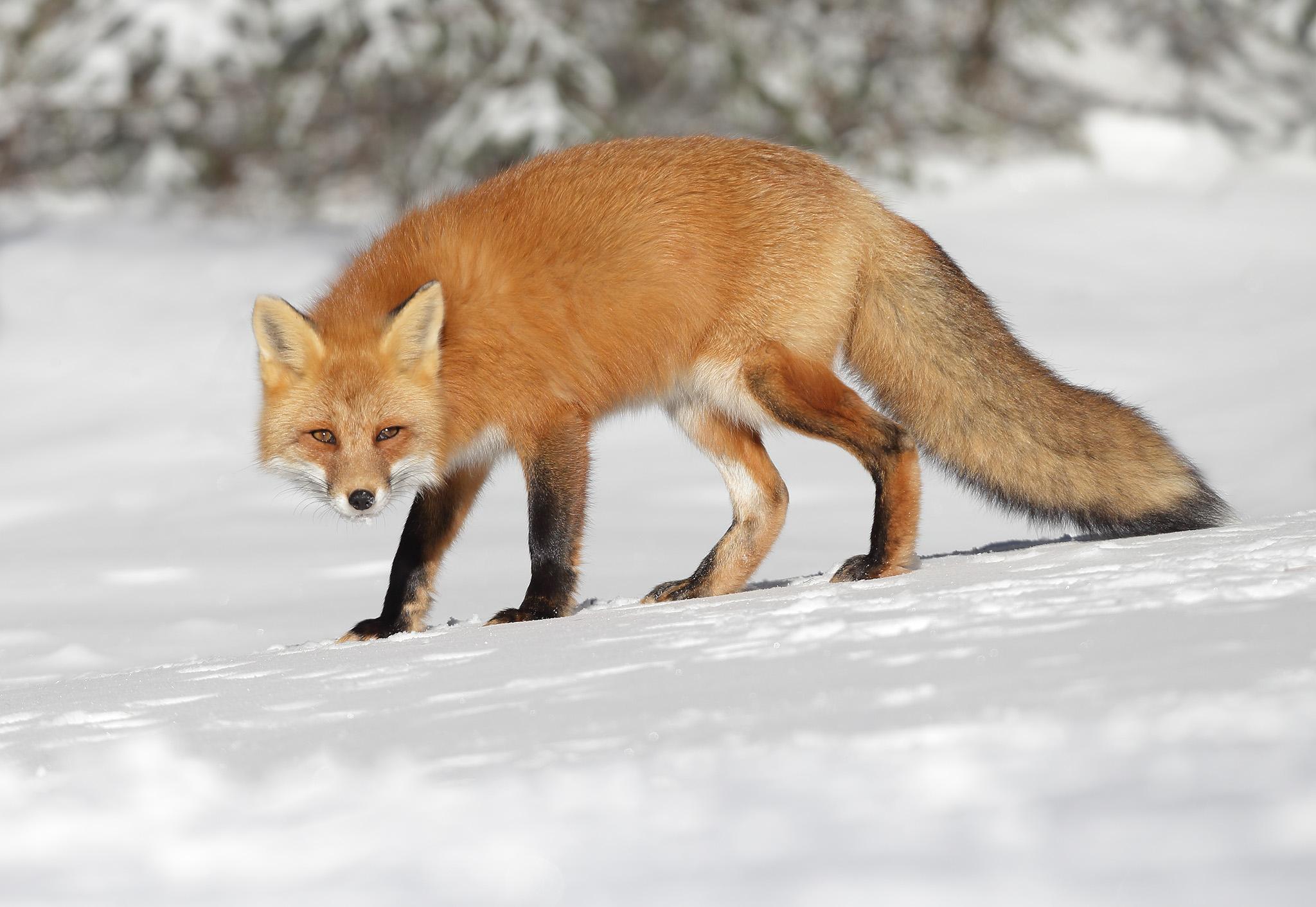 Red-Fox - Algonquin Park , Ontario , Canada...