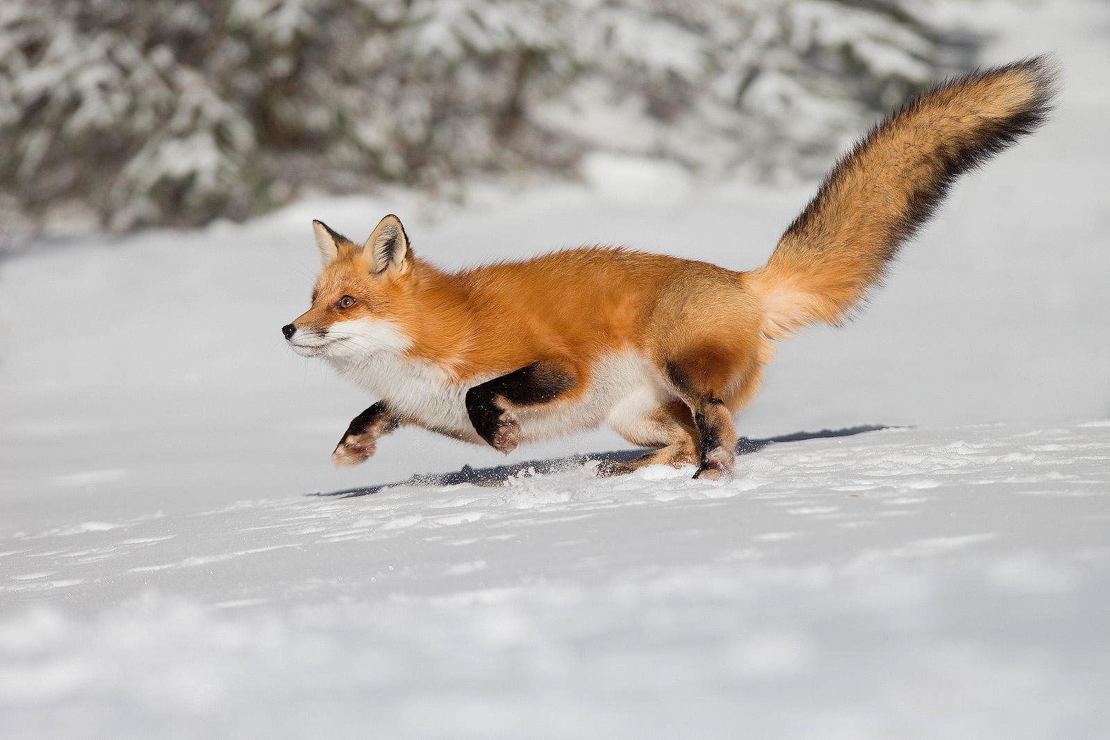 Red Fox , Algonquin Park , Ontario , Canada...