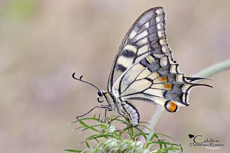 Old Swallowtail of Daucus carota...