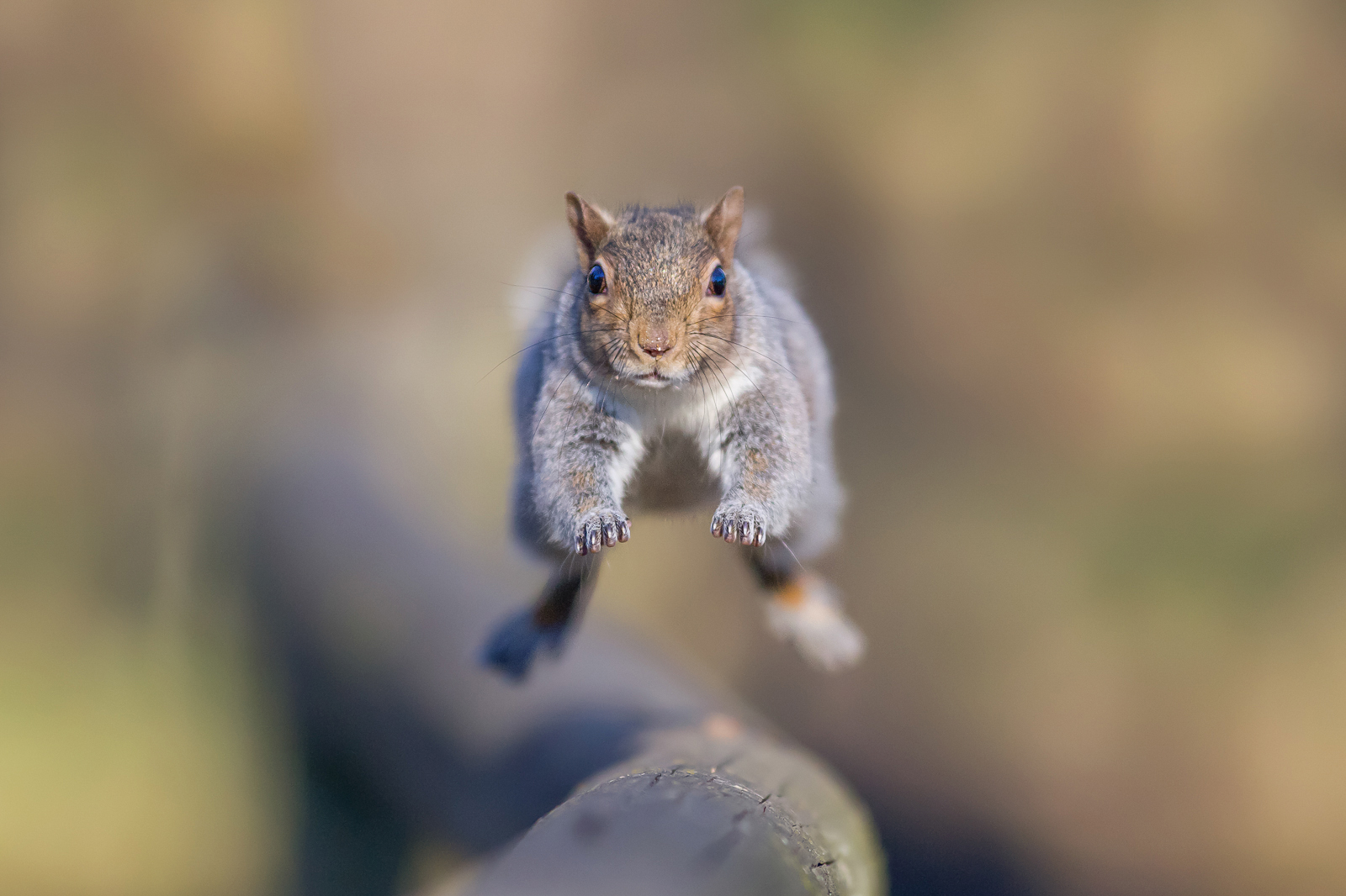 Grey squirrel...