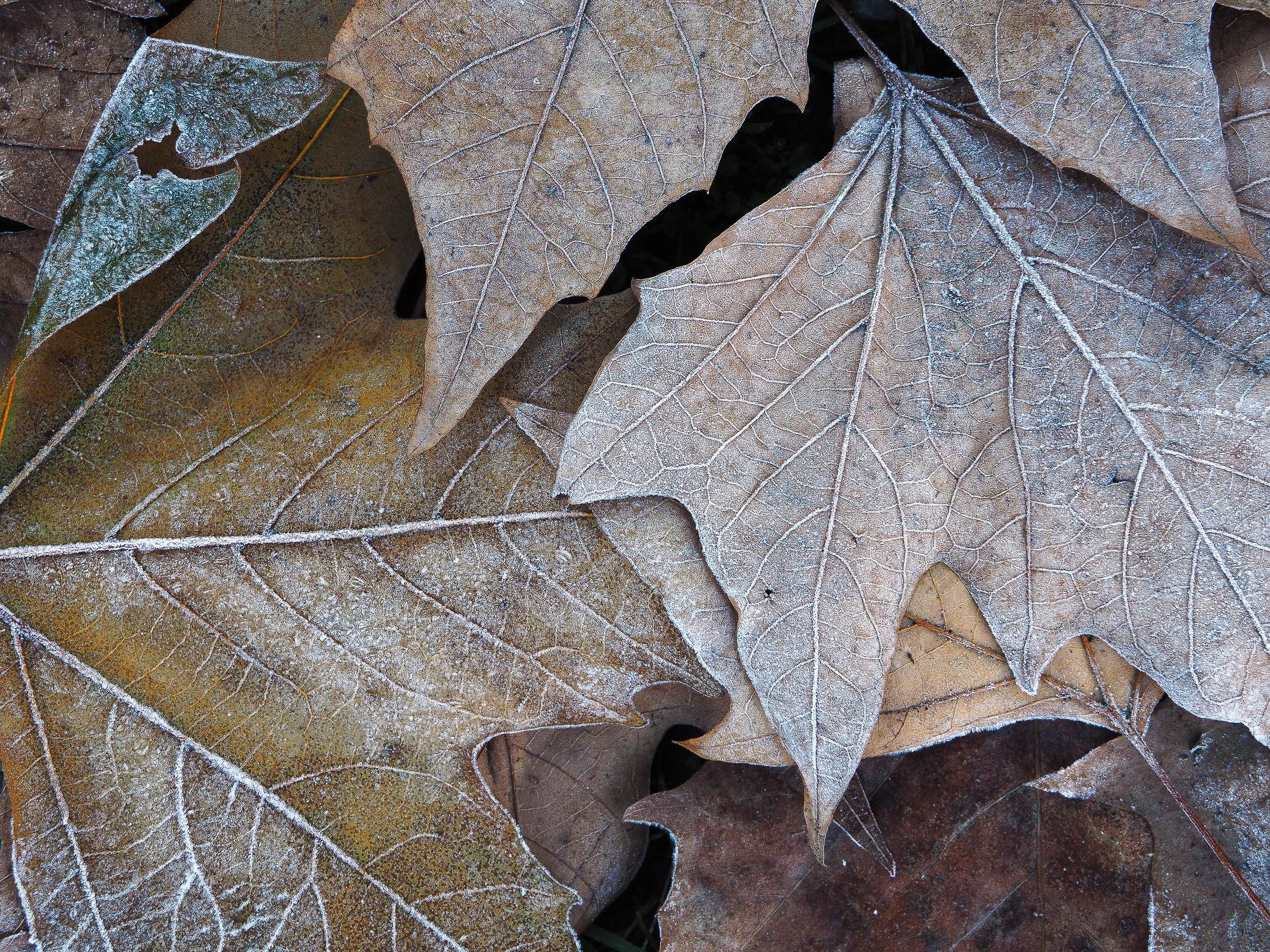 dead leaves...