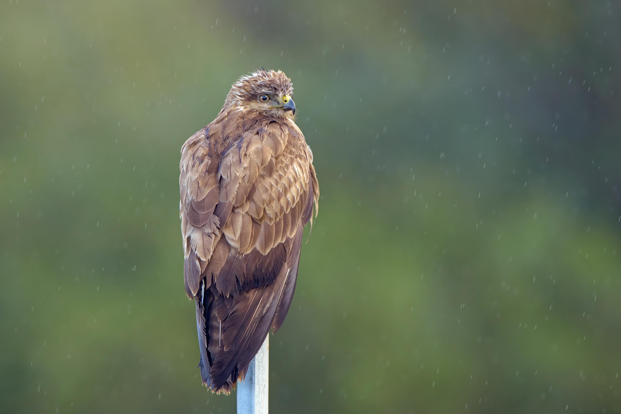buzzard in the rain...