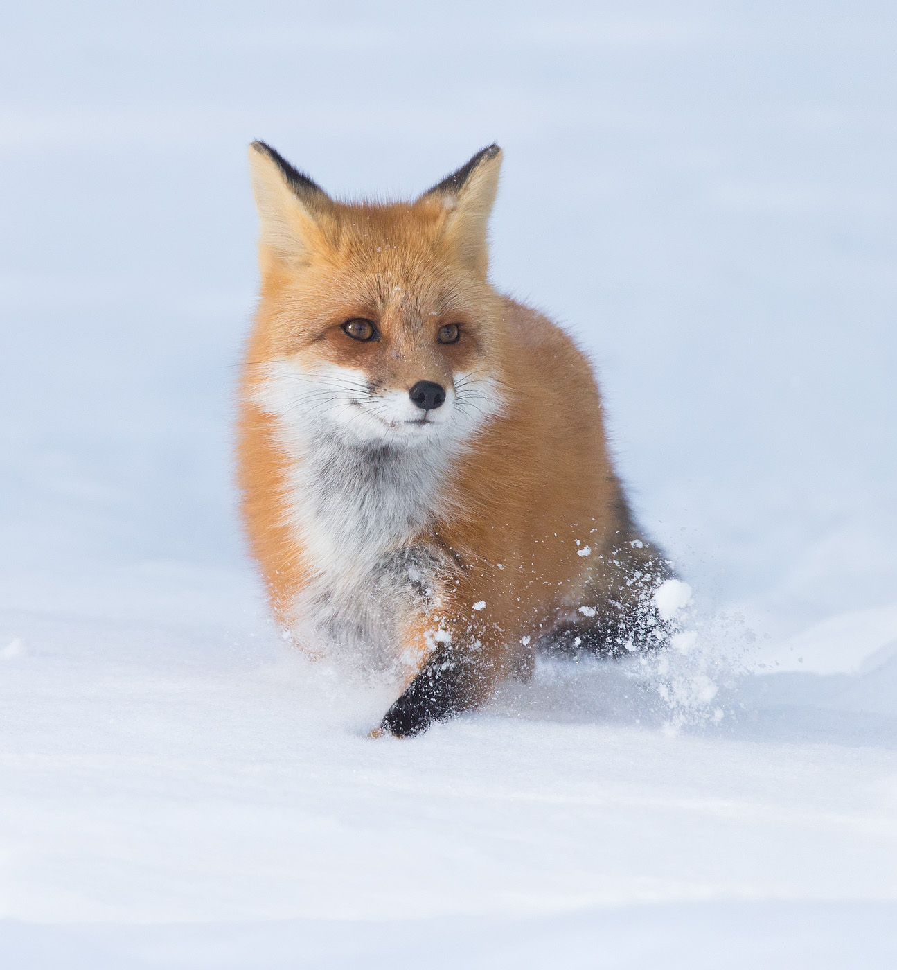 Red Fox , Algonquin Park , Ontario ,Canada...