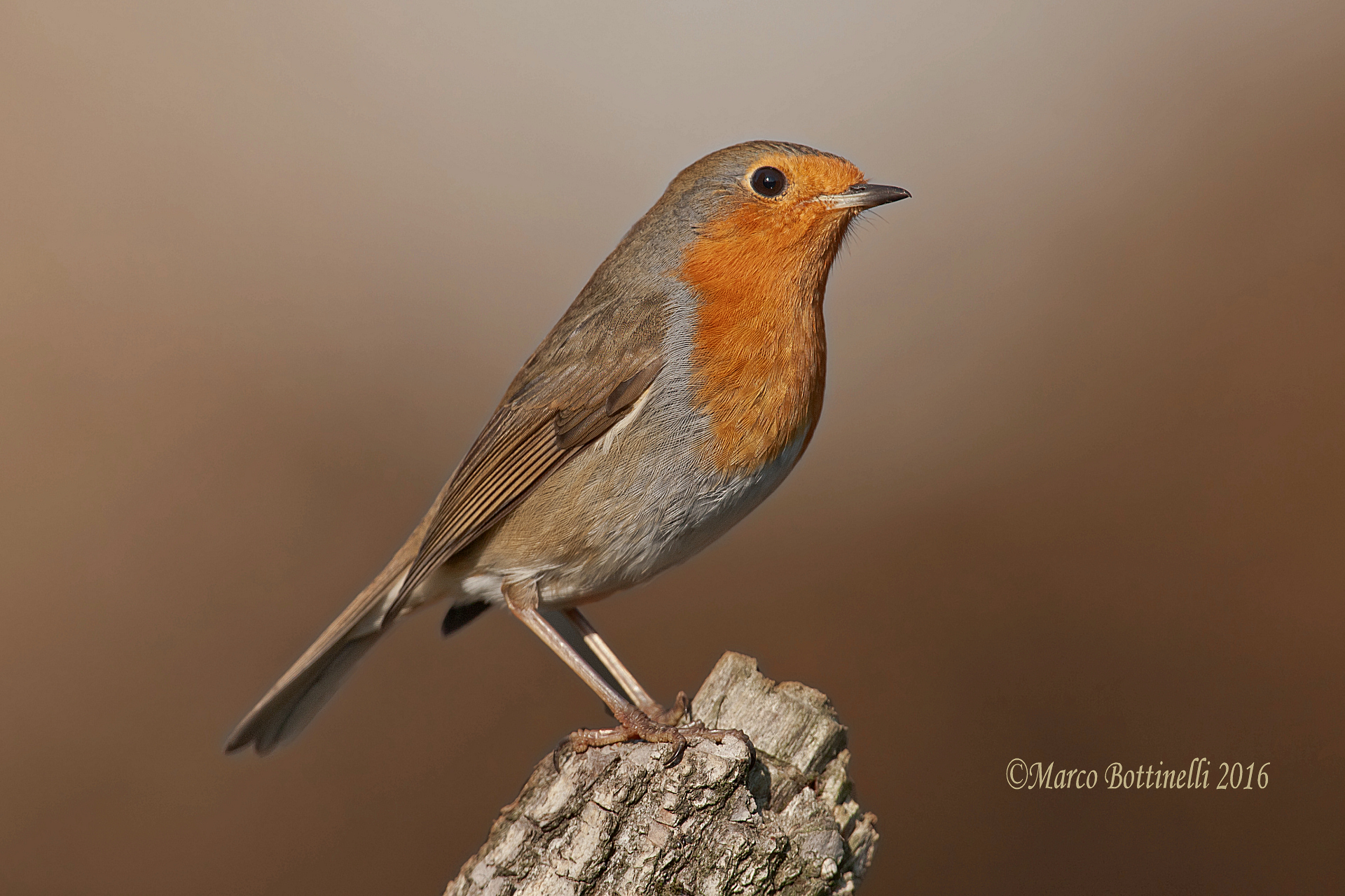 portrait of robin...