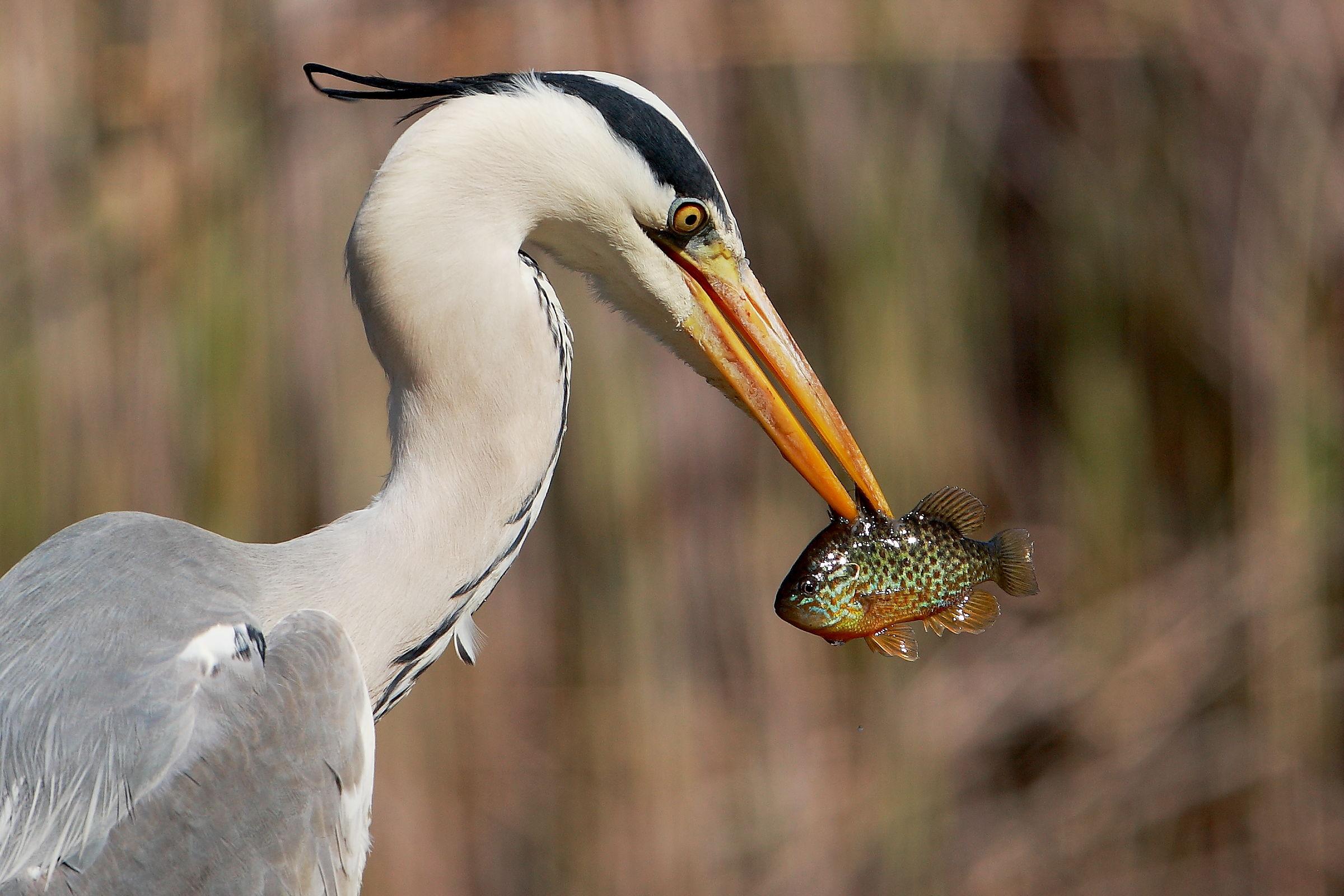 heron bloody...