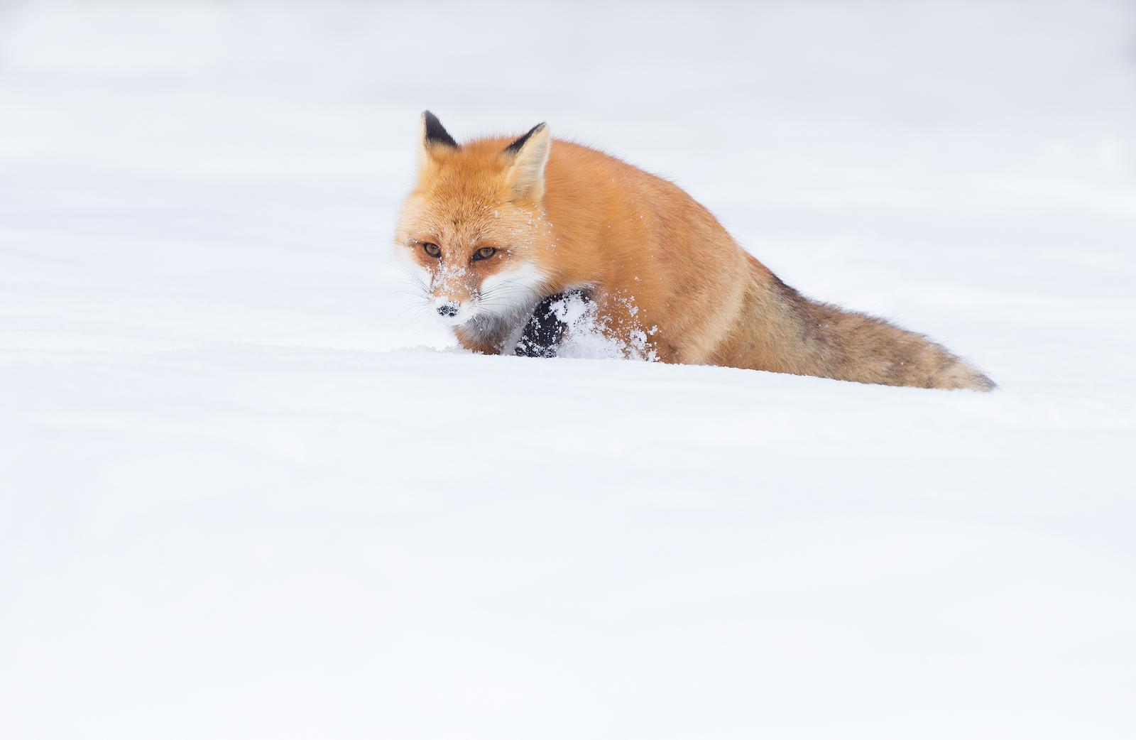 Red Fox , Ontario , Canada...