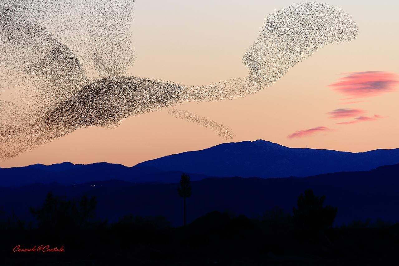flock of starlings...