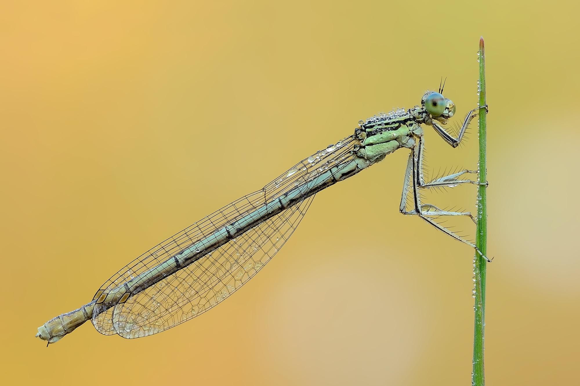 Platycnemis pennipes (female)...