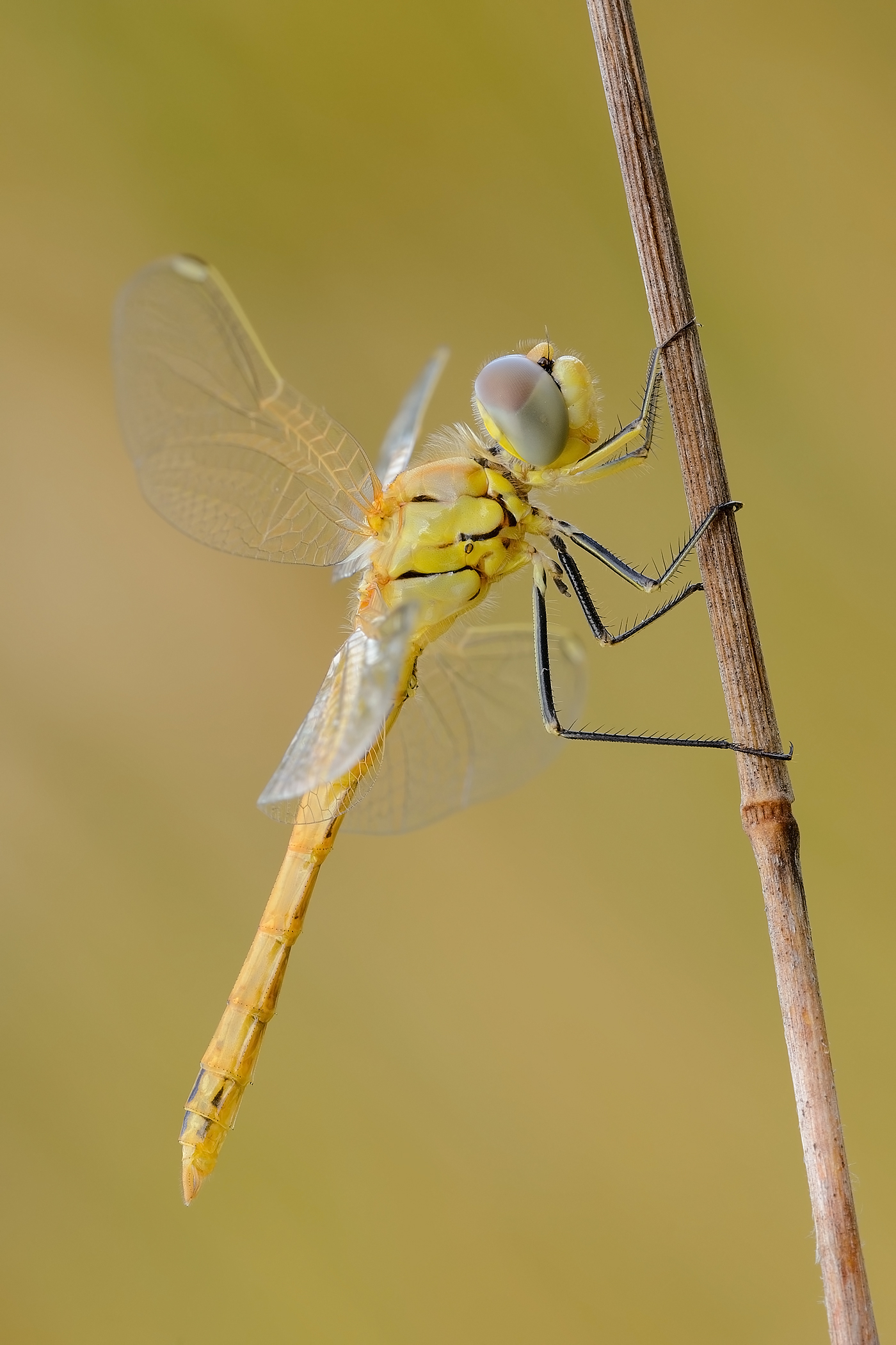 Sympetrum fonscolombii (immature male)...