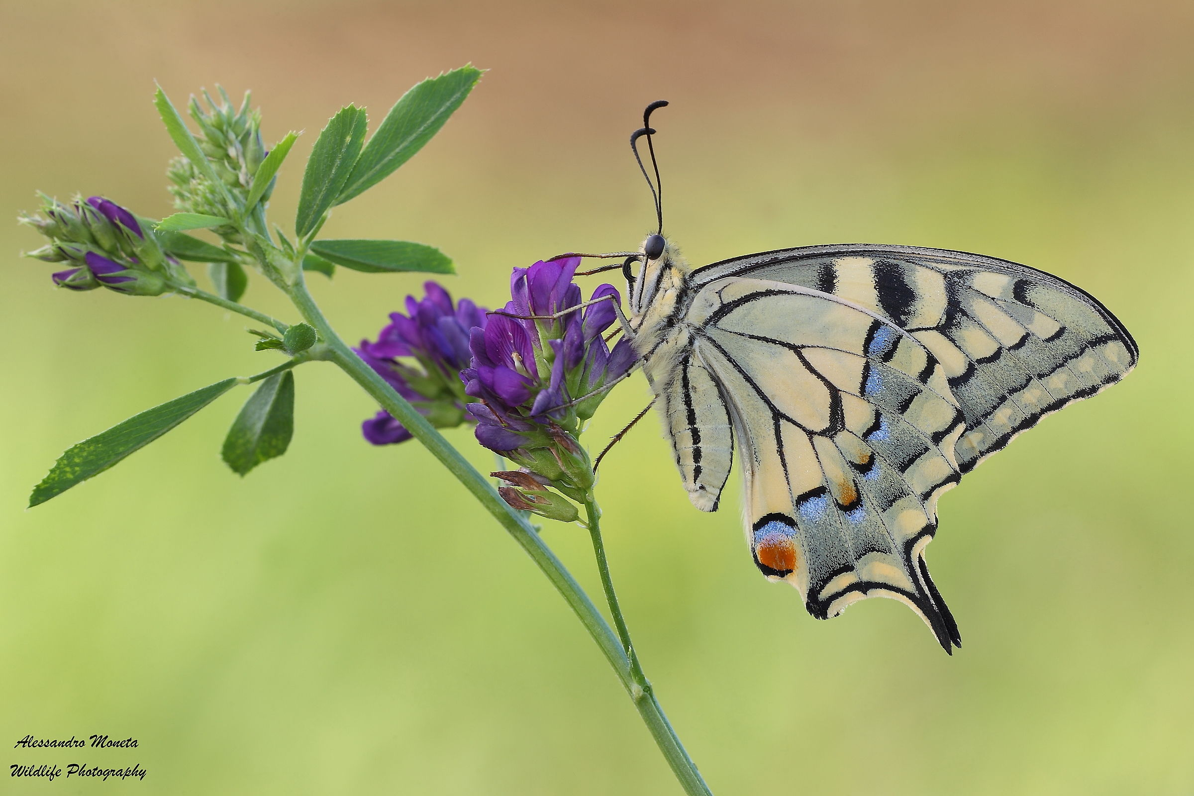 His Majesty 'the Machaon...
