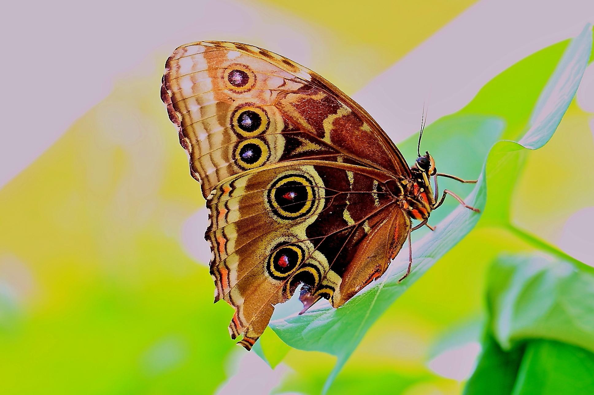 butterfly-caligo...