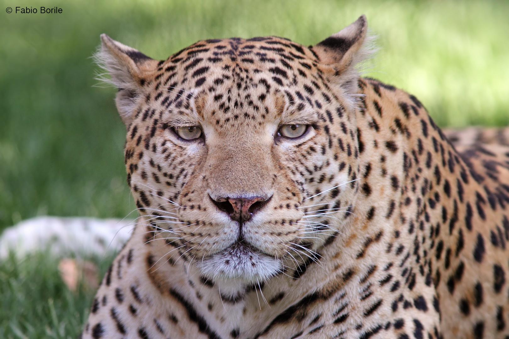 Leopardo...