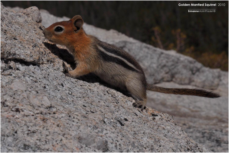scoiattolo dello Yosemite n.p....
