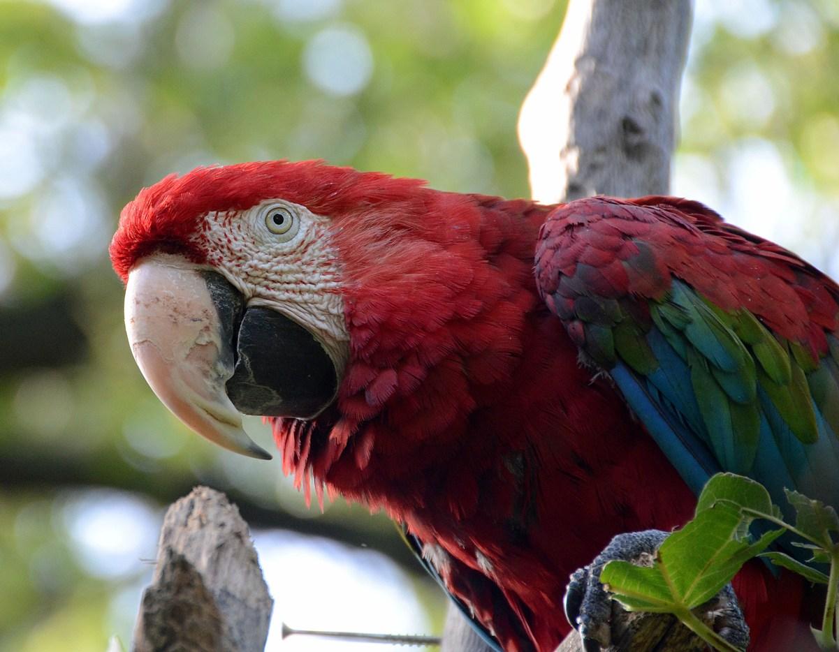 Parrot Ara...