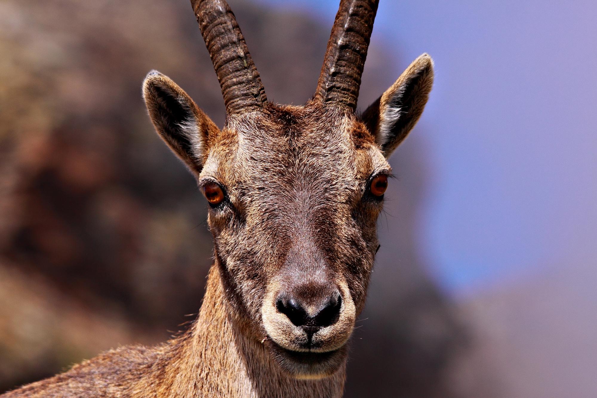Portrait of ibex...