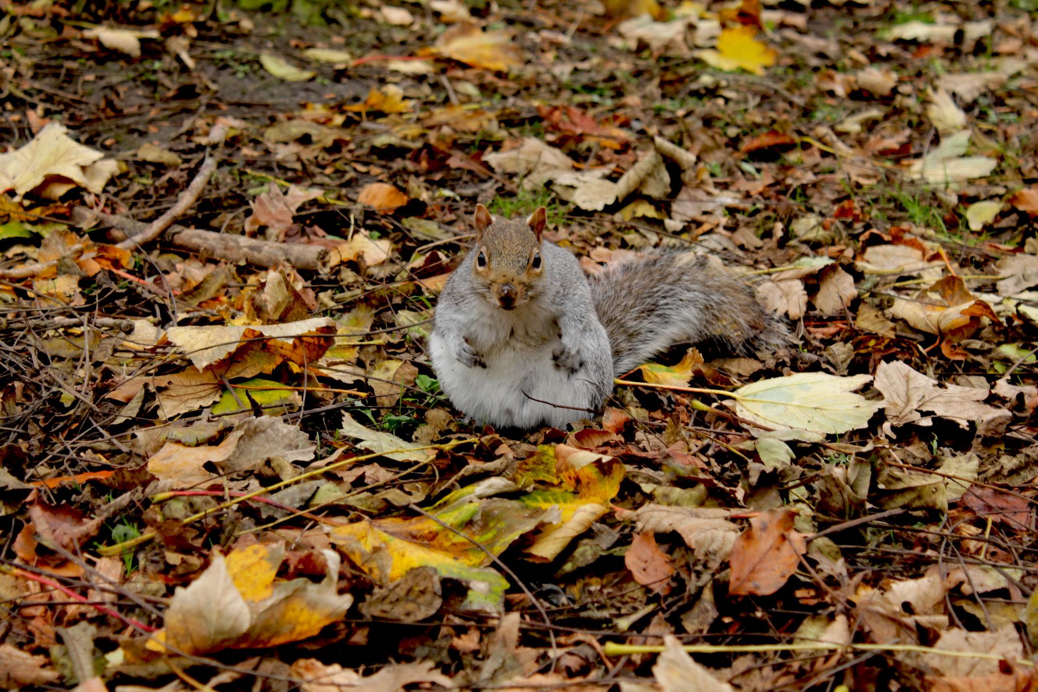 American gray squirrel...