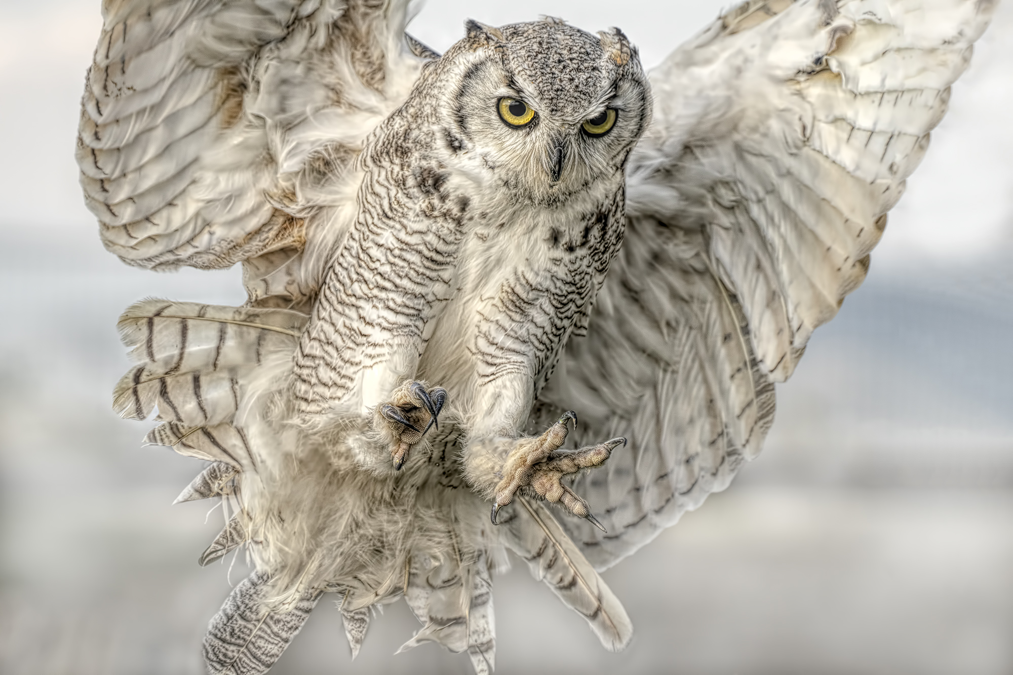 Claws The Great horned owl Bubo virginianus...