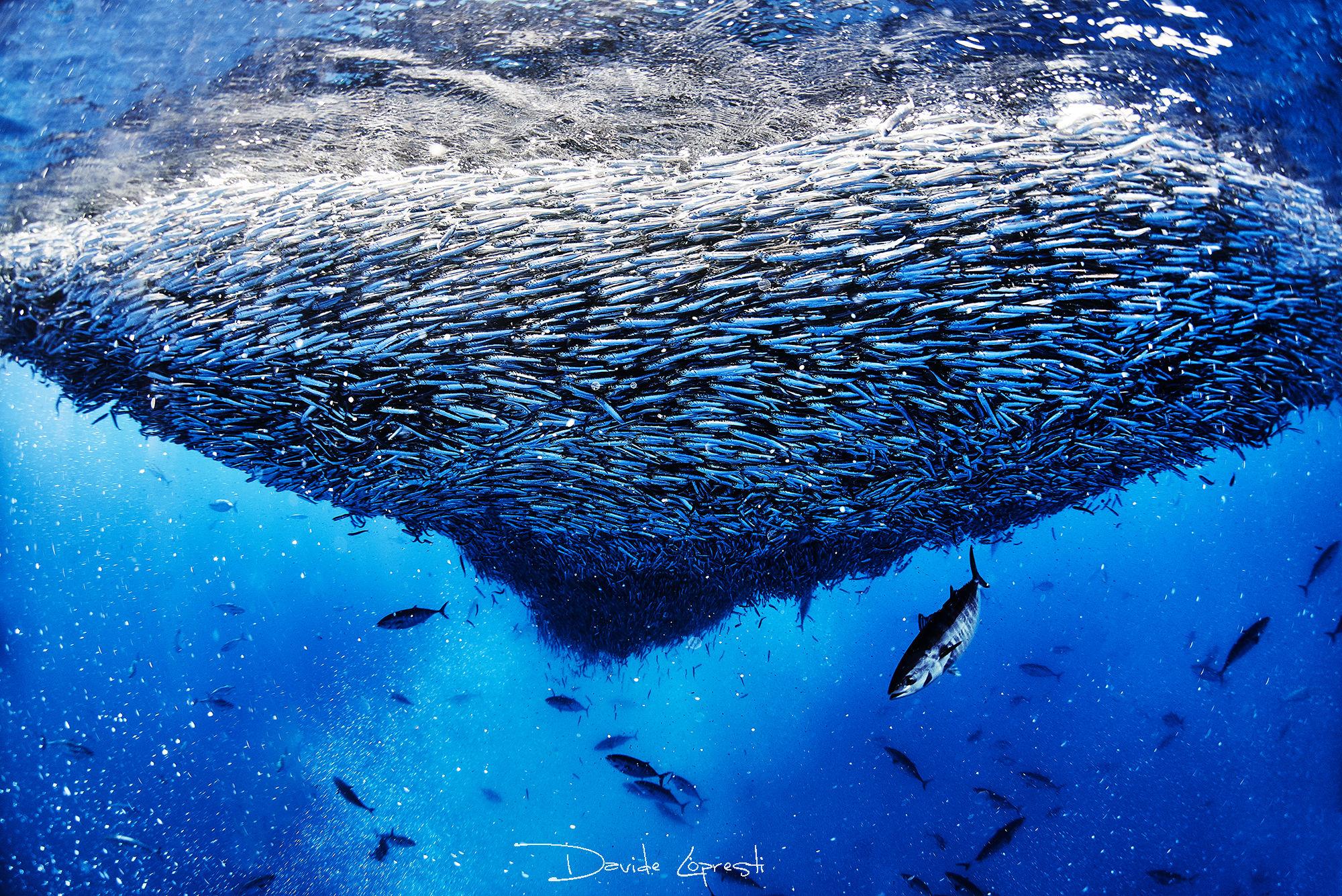 Mediterrean sardine run...