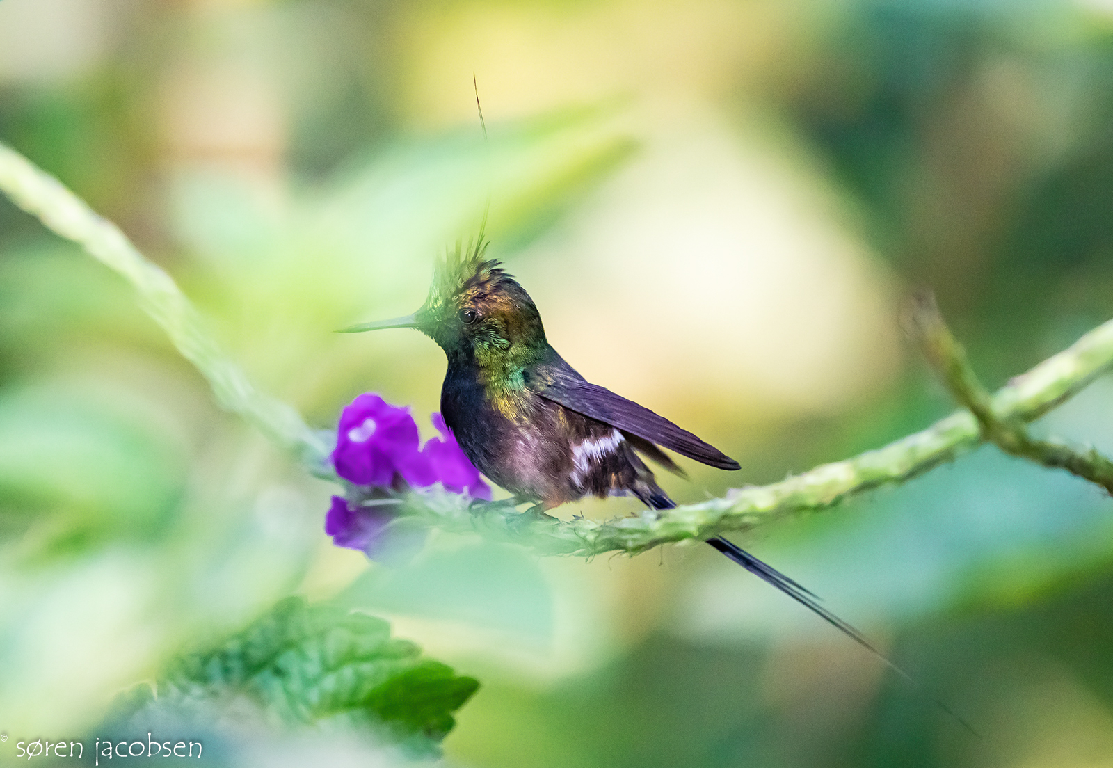 Wire-Crested Thorntail!...