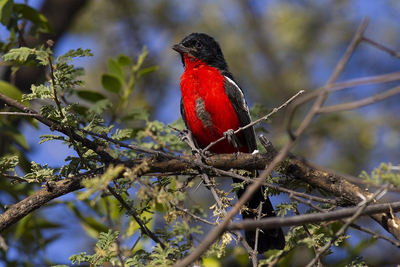 Crimson-breasted Shrike (laniarius Atrococcineus) ...