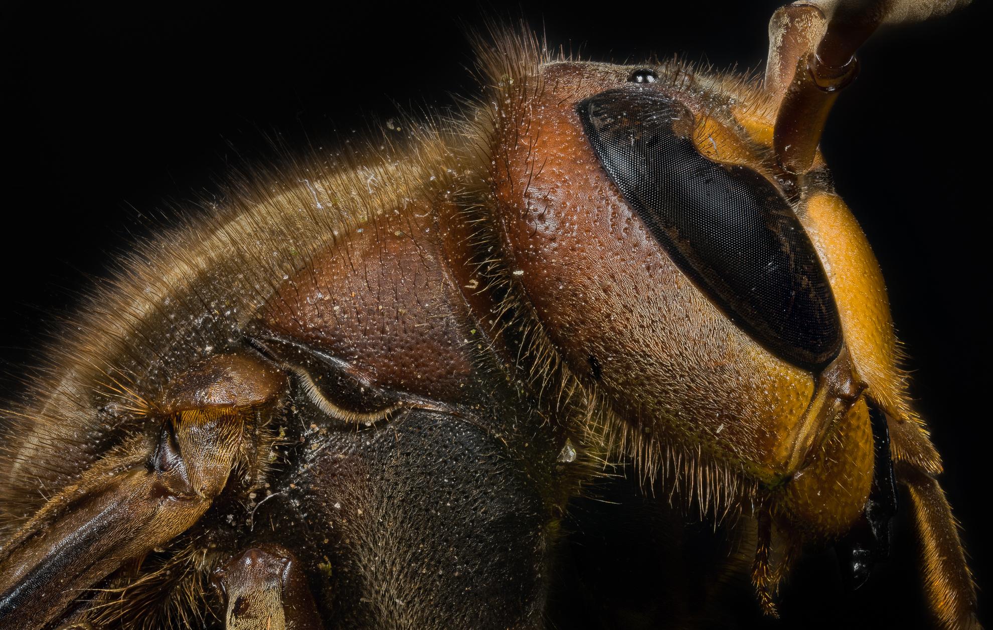 Calabrone Profile (vespa Cabro)...