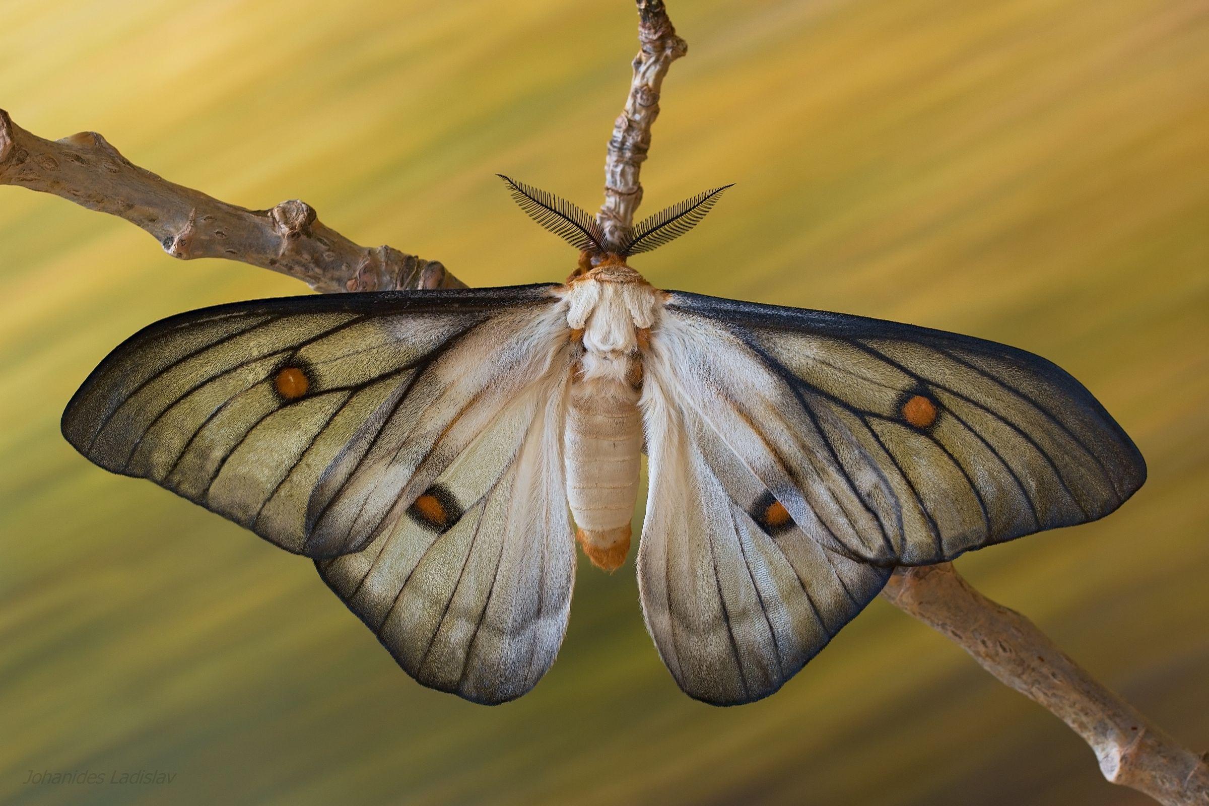 Ceranchia apollina (Madagaskar)...