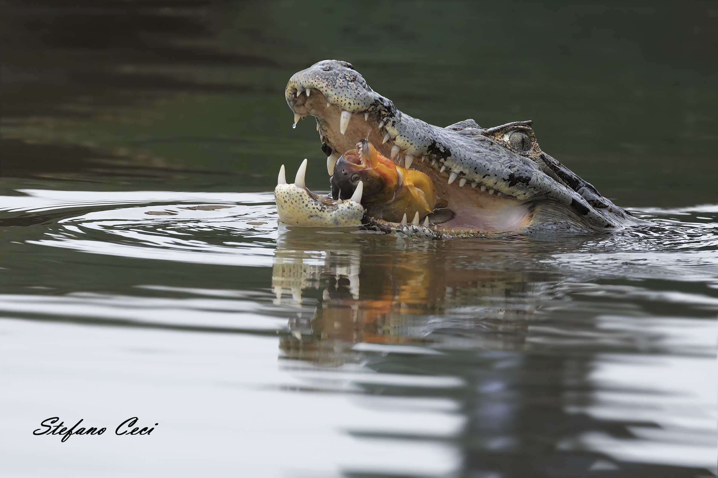 The caiman and the Pirana...