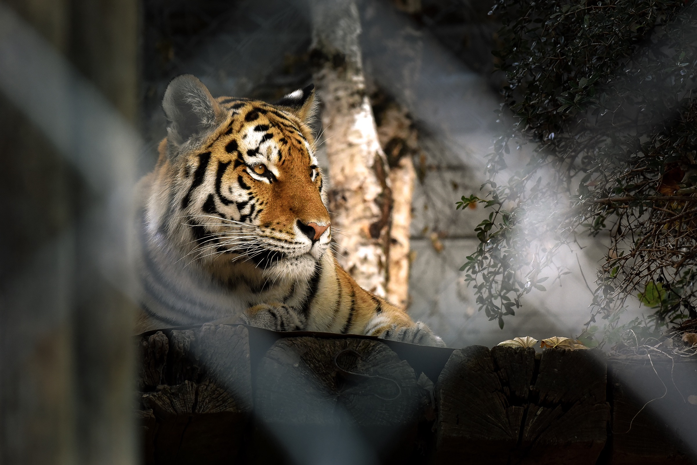 Tiger in Cage...