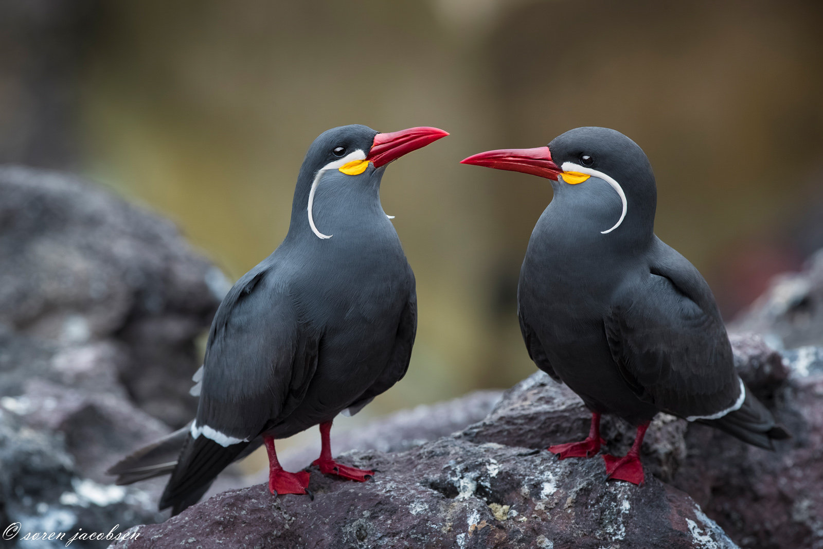 Inca Tern's!...