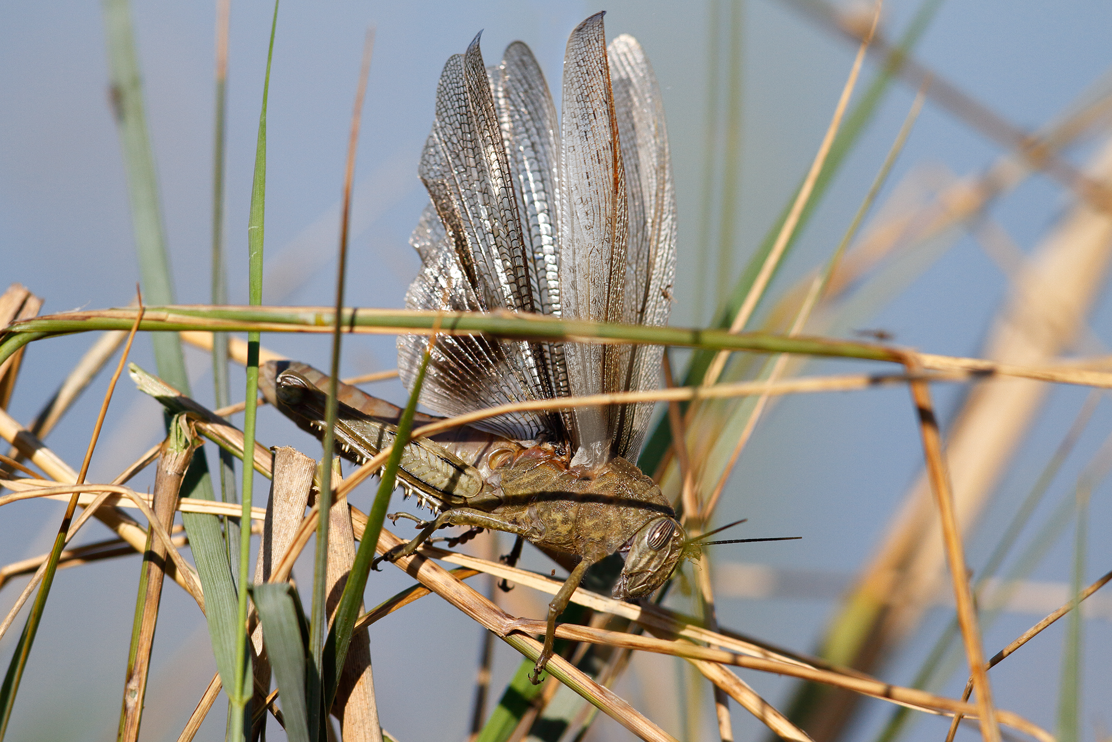 Flight tests-migratory locust...