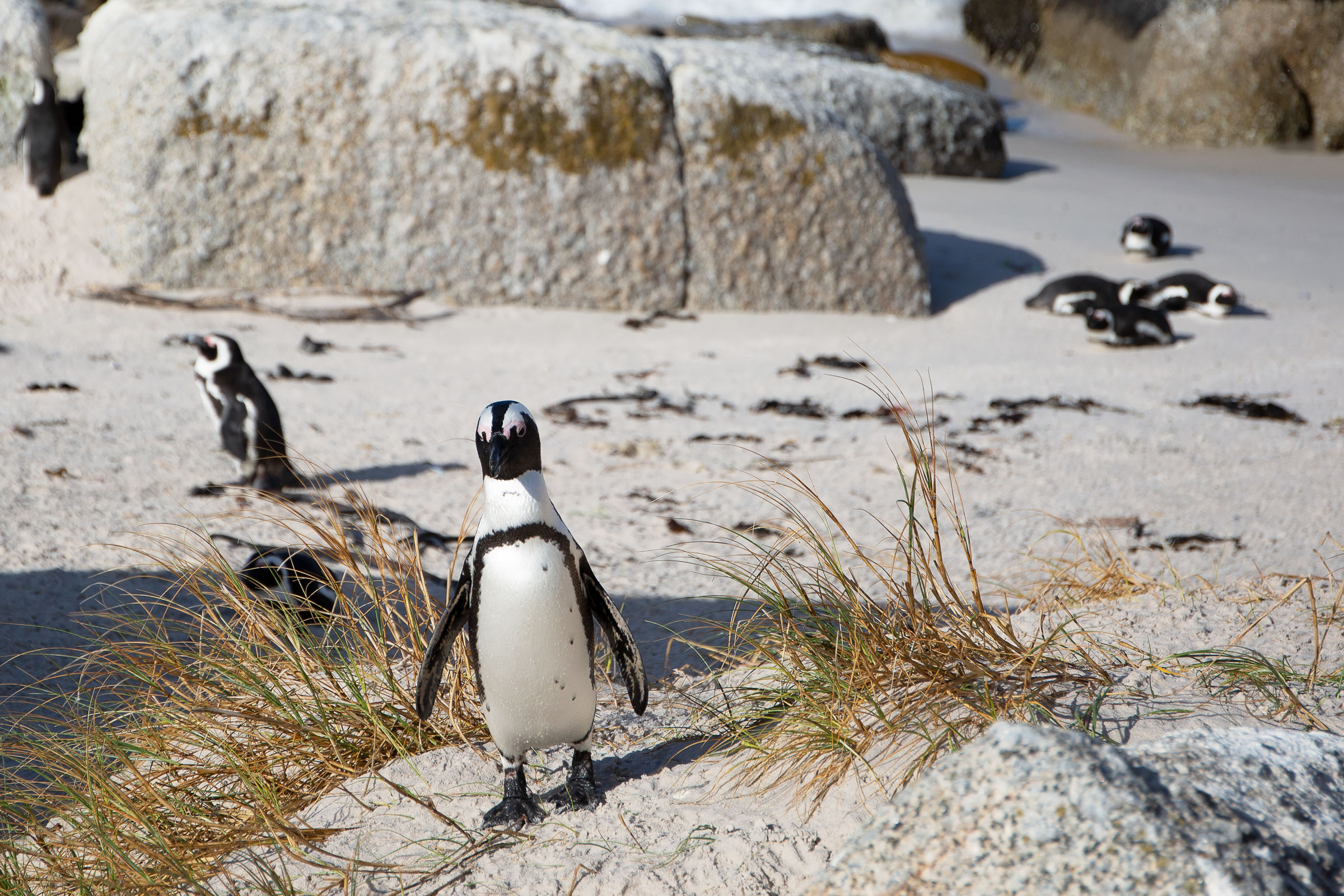 Cape Penguin....
