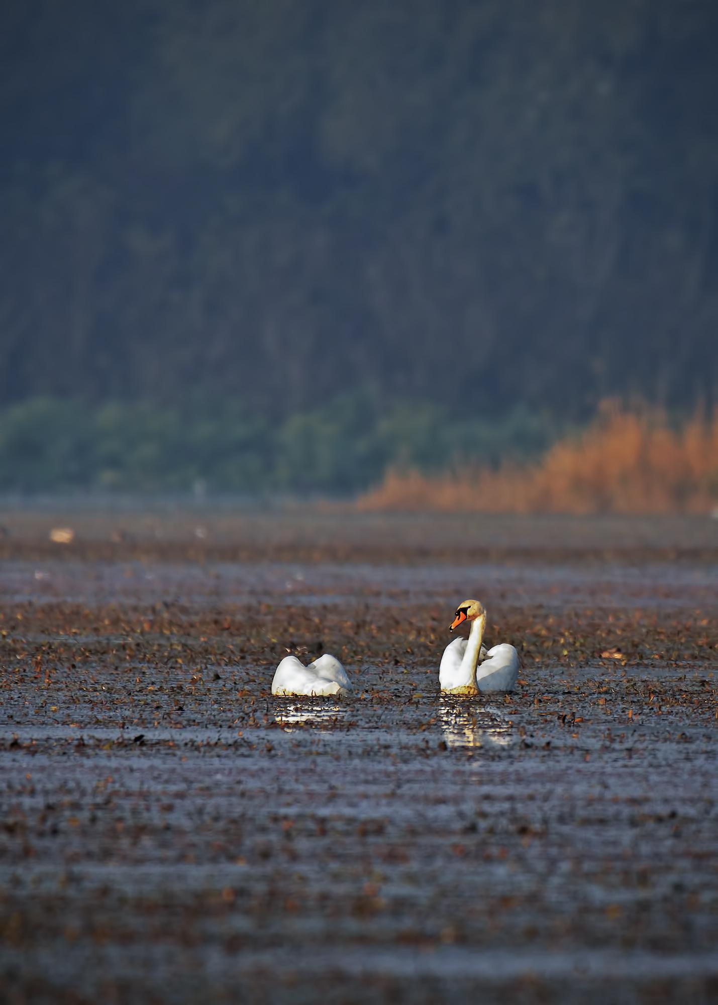 Swans...