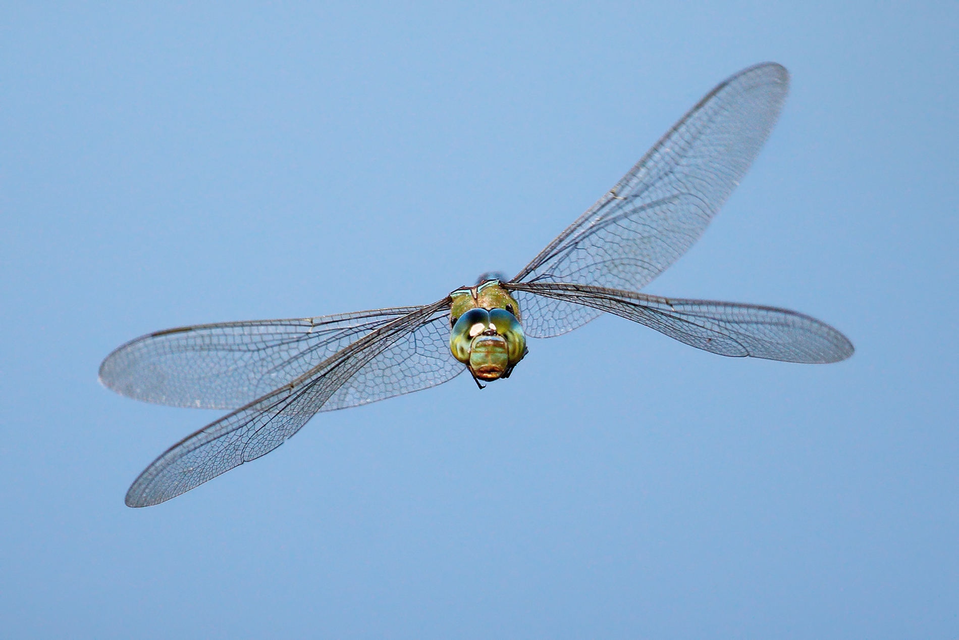 Flying Dragonfly 2-Anax imperator...