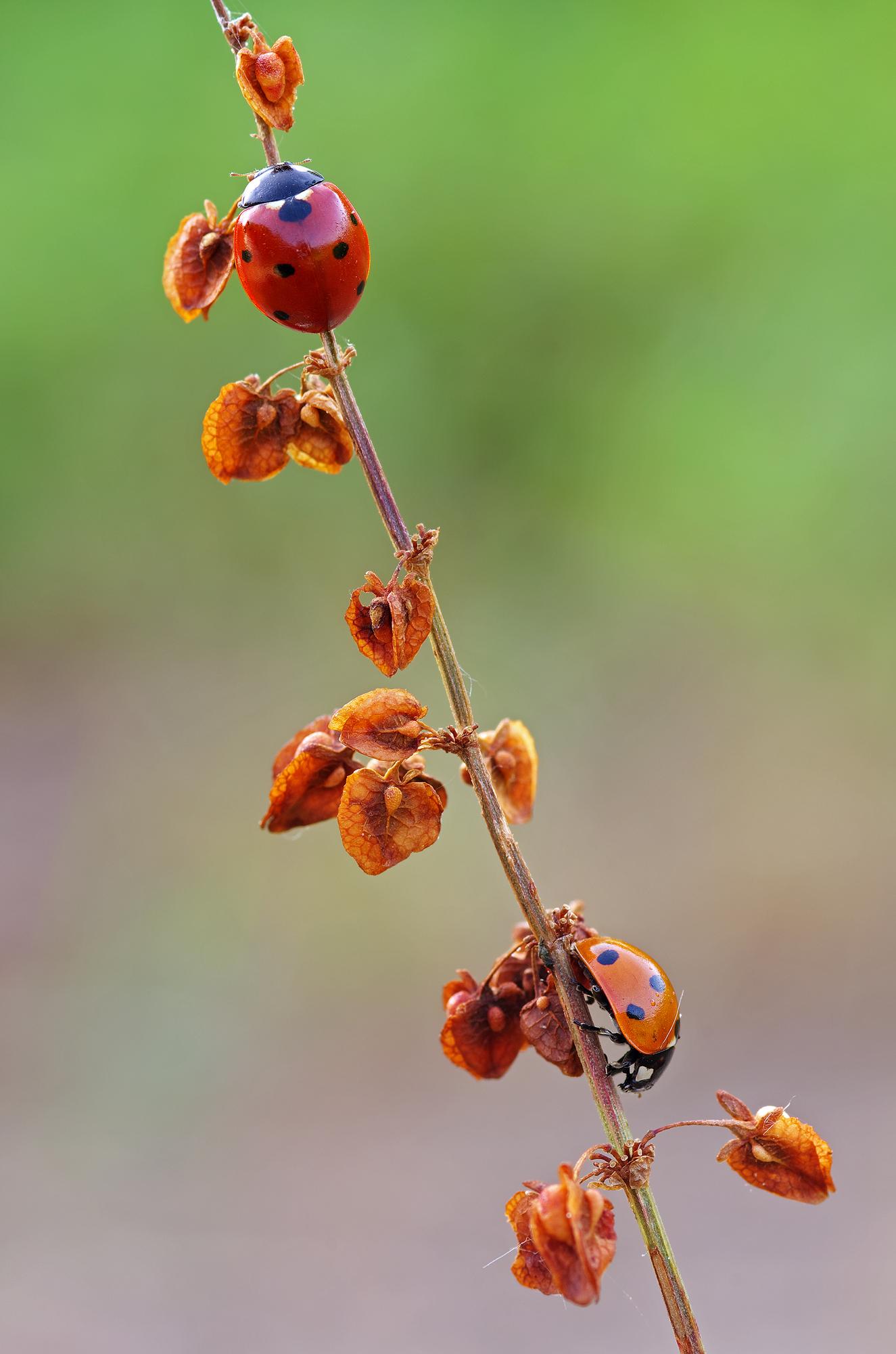 Autumn Ladybugs...
