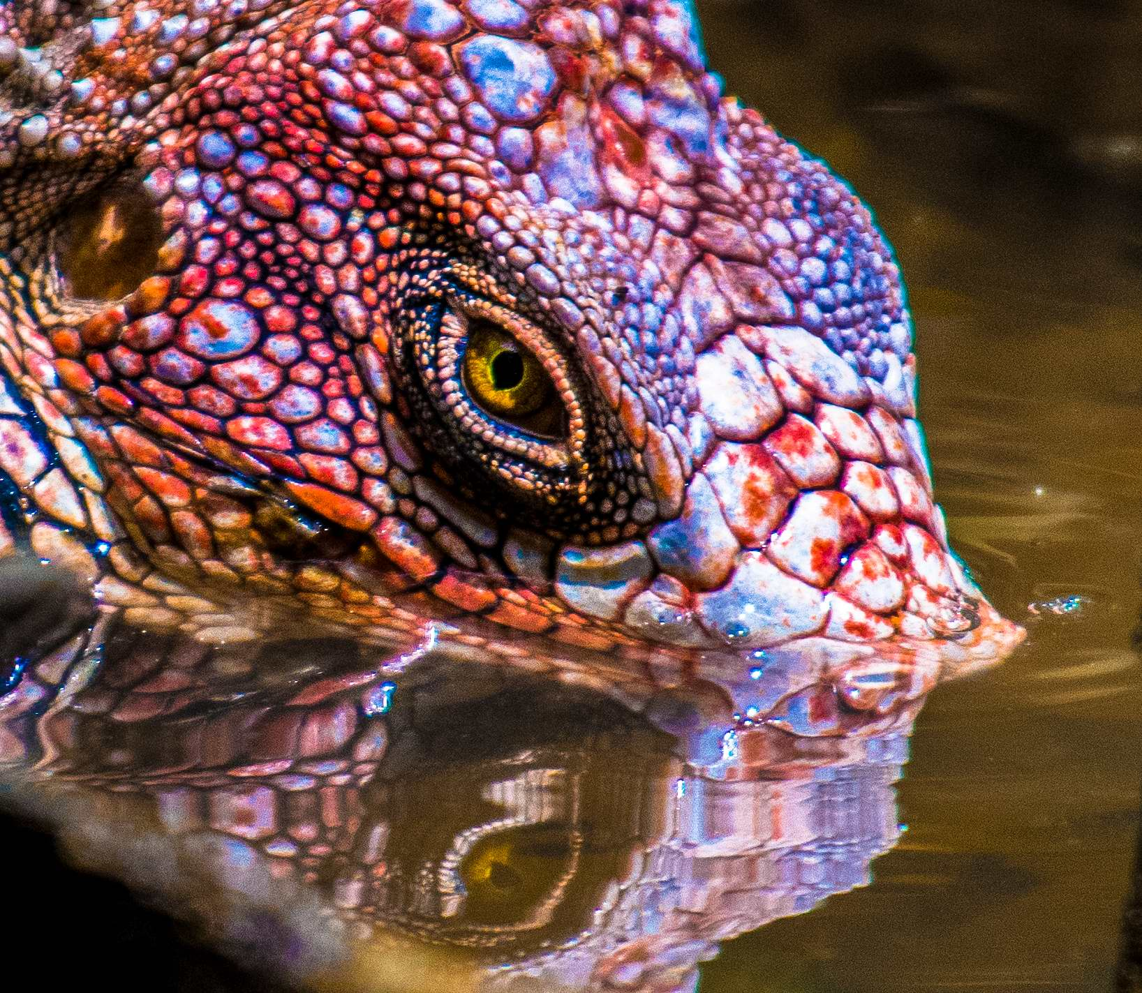 The Eye of the Iguana...
