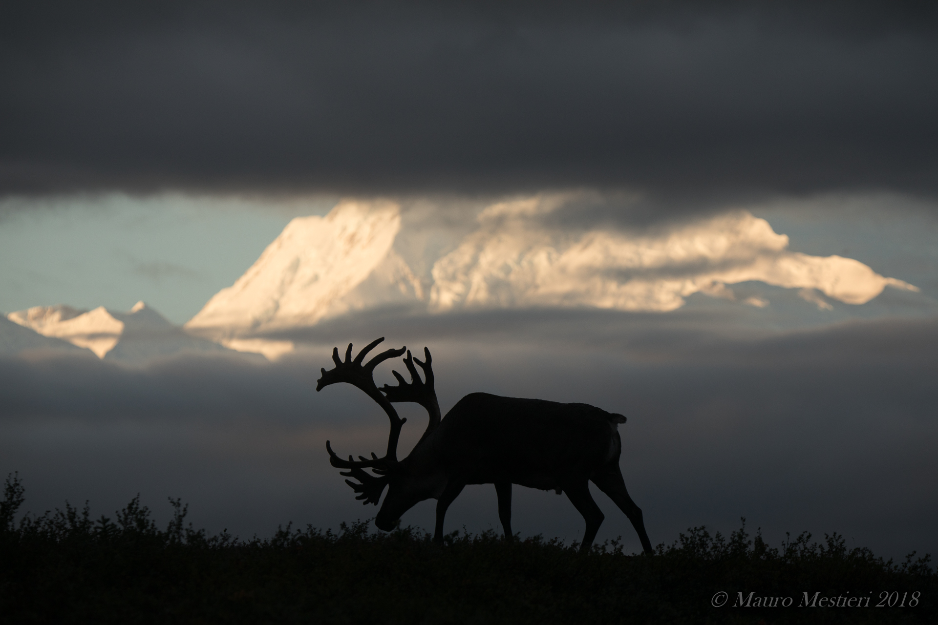 Caribou at dawn at Denali...