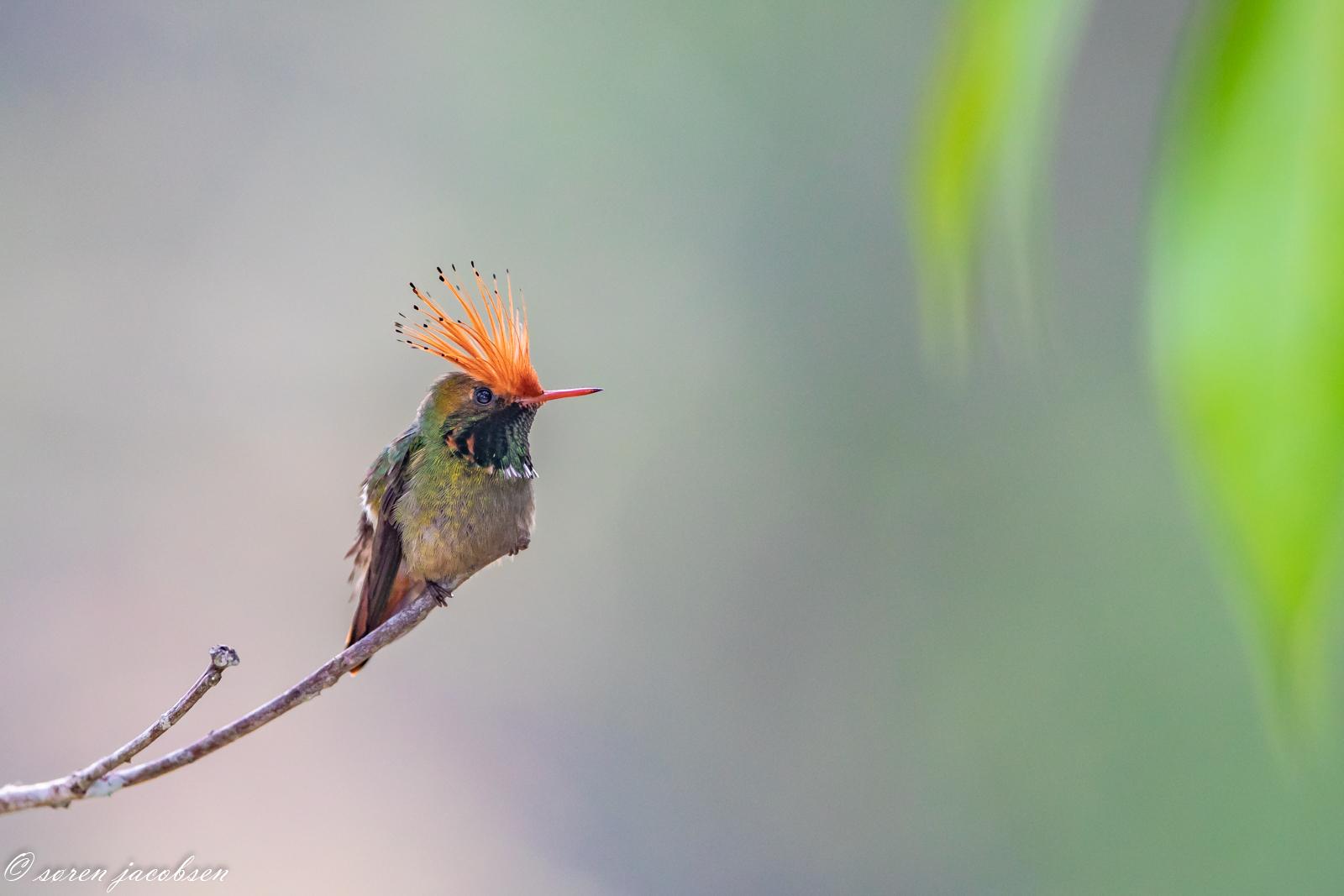 Rufous-Crested Coquette! Waqanki, Peru...