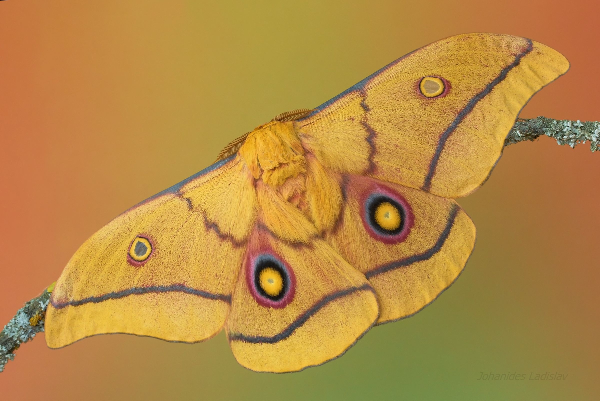 Gonimbrasia krucki (male)...