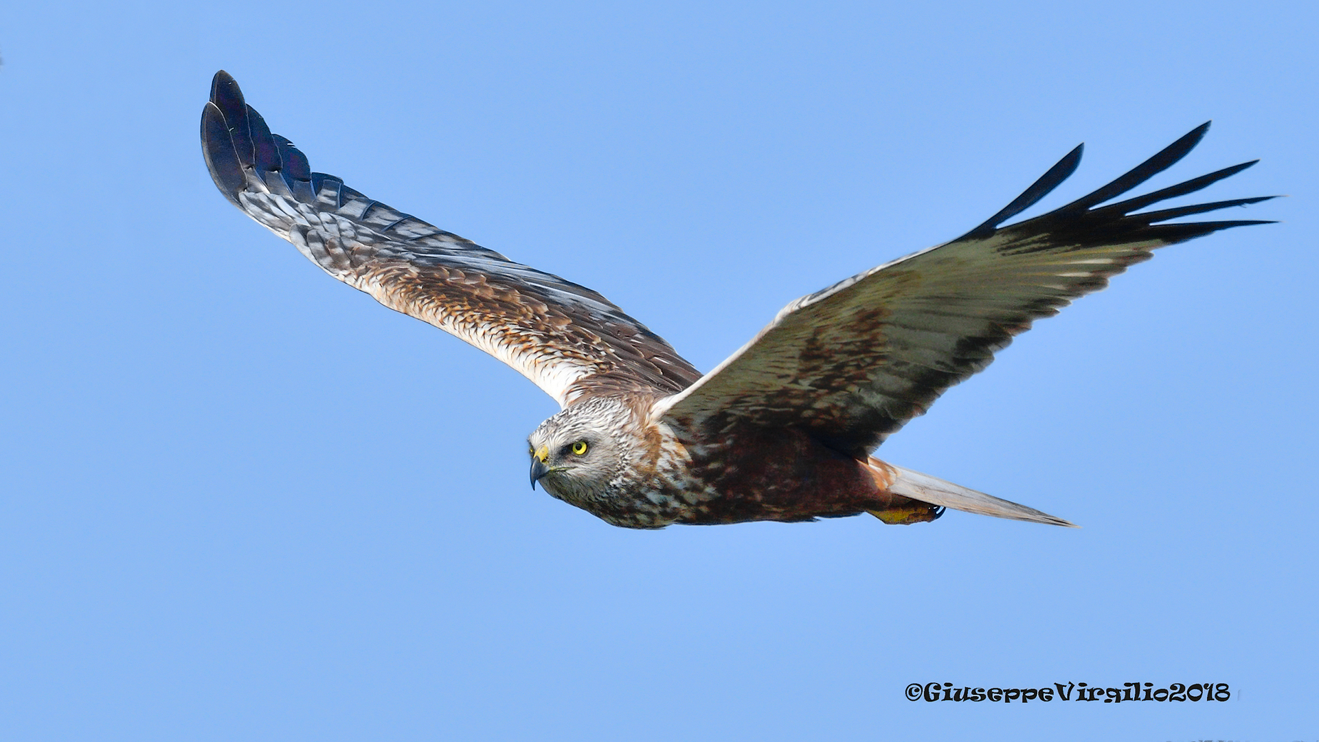 "Male Marsh Hawk ""North Sardinia 2018""..."