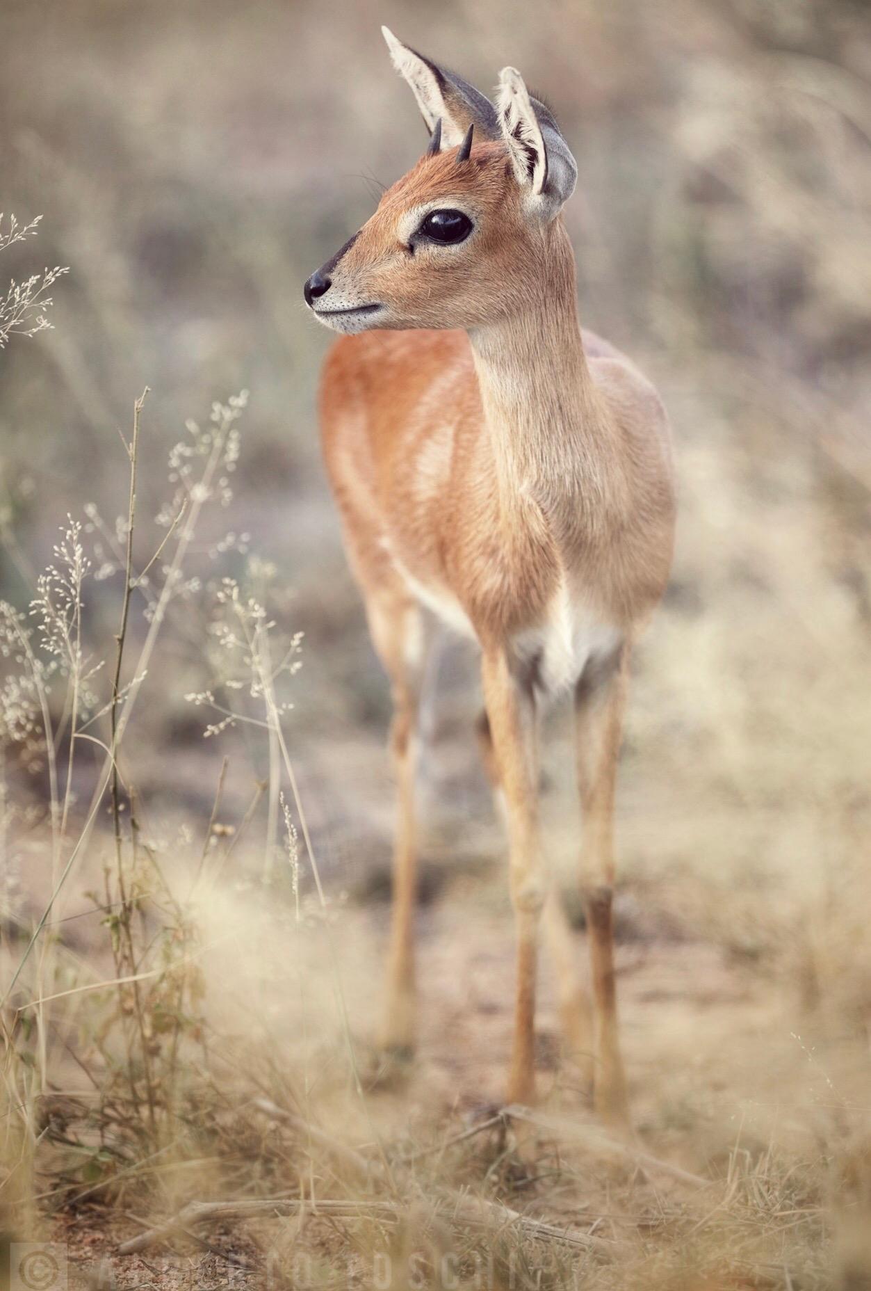 Afrikaans Steenbok ...