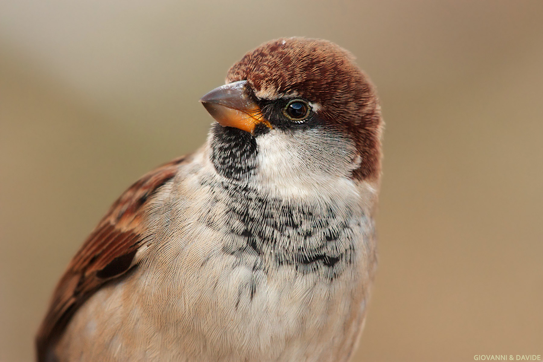 ... Young male Italy Sparrow......