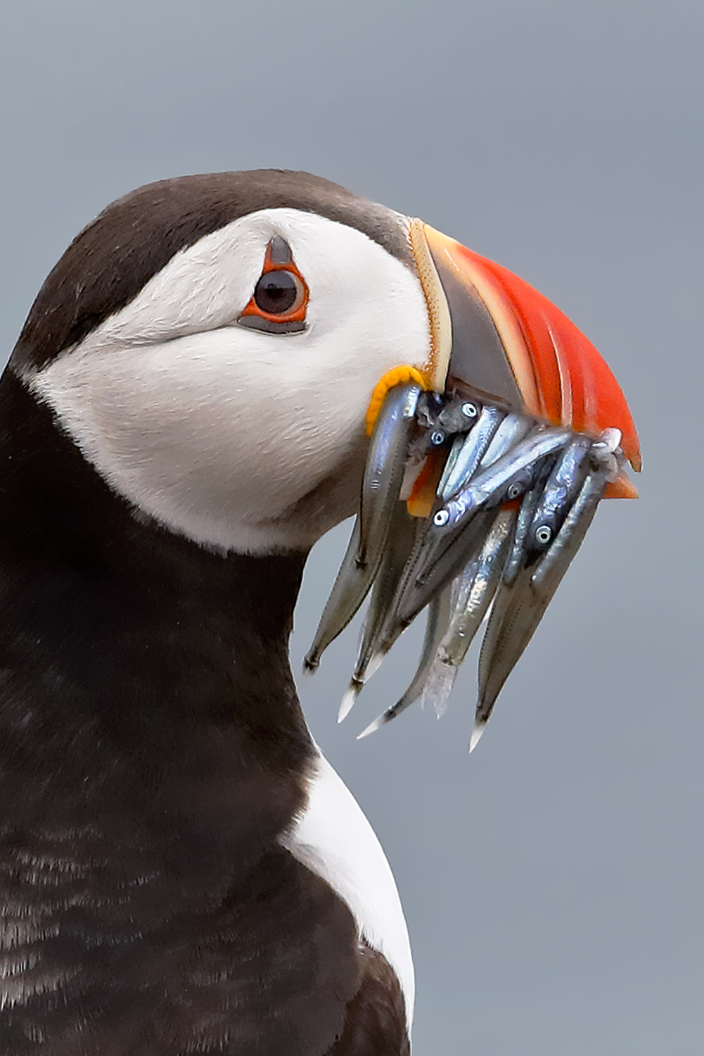 Puffin with Prey...